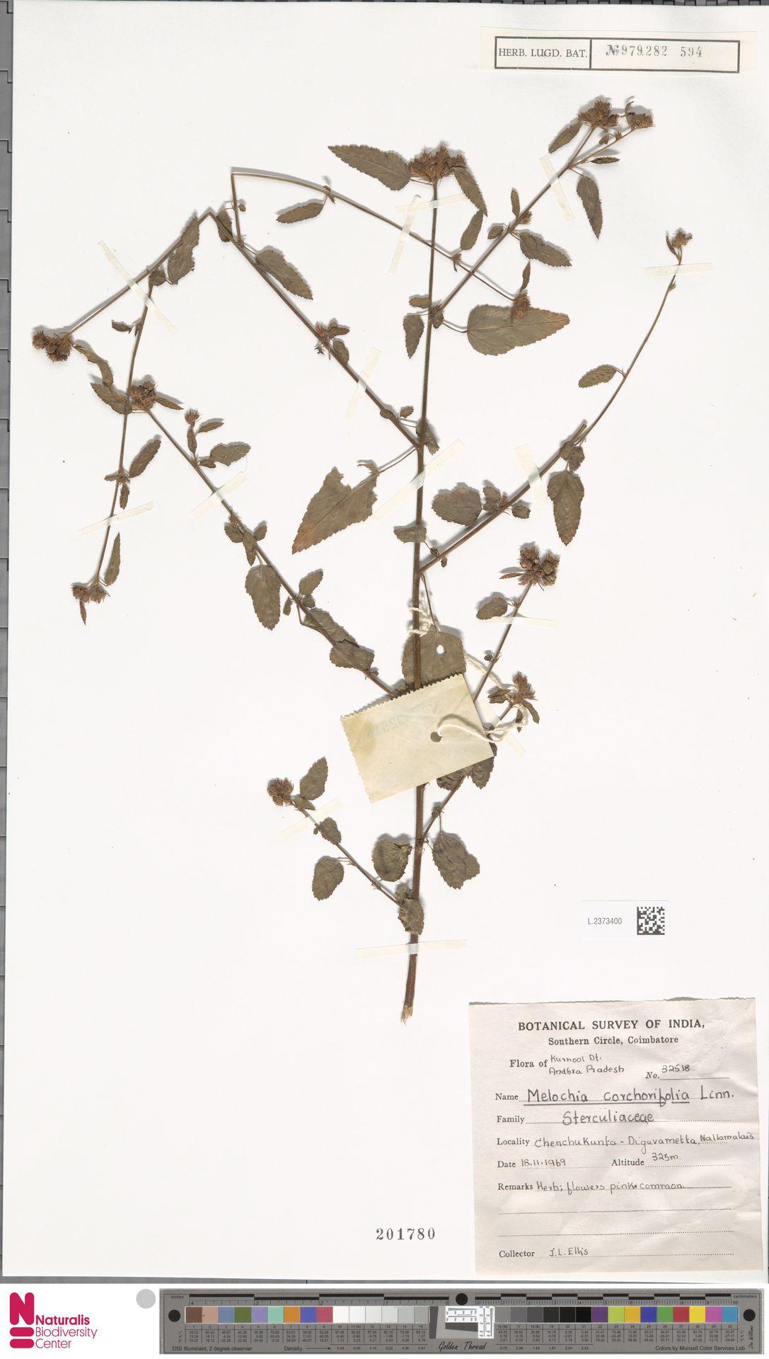 L.2373400 | Melochia corchorifolia L.