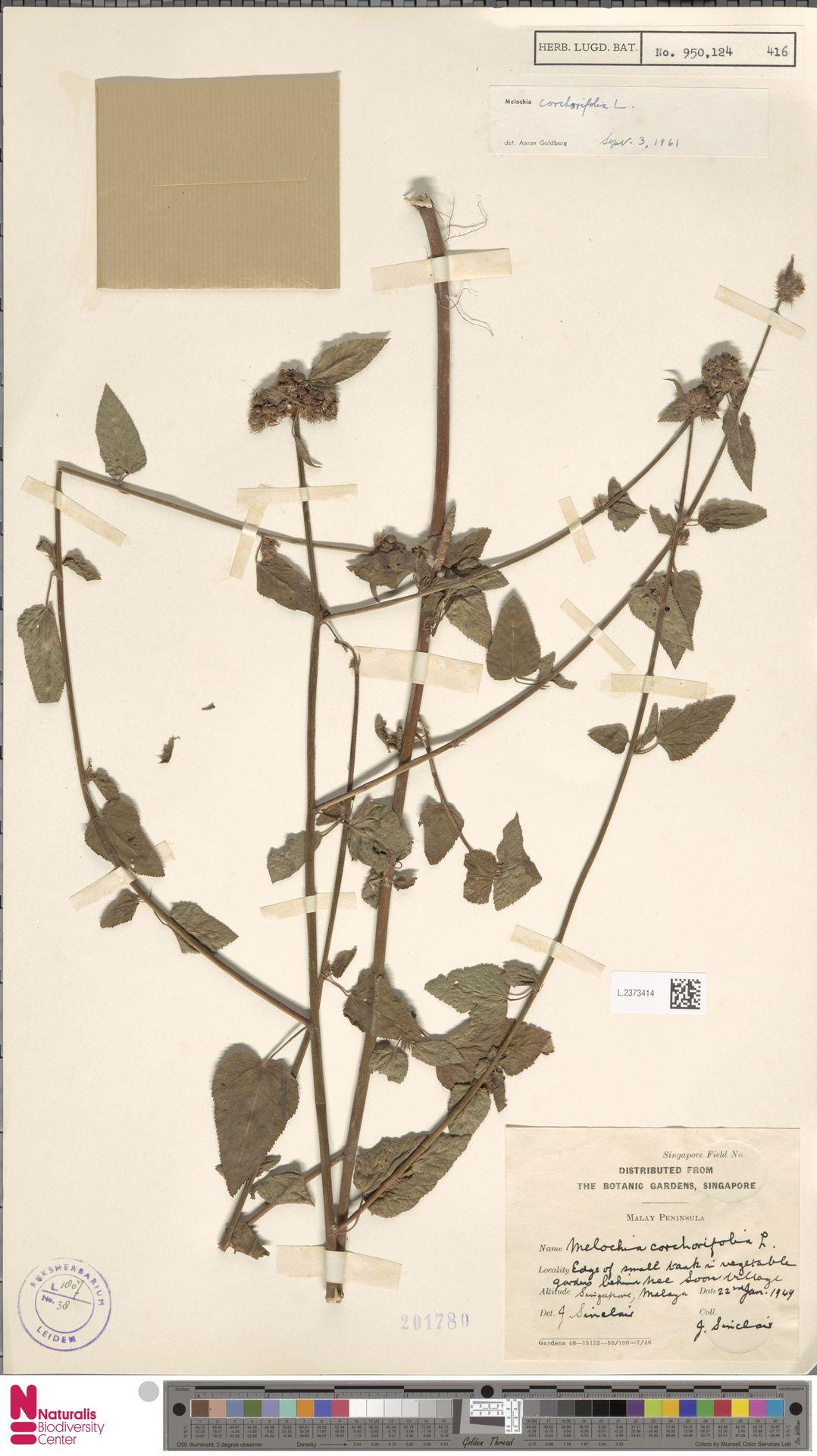 L.2373414 | Melochia corchorifolia L.