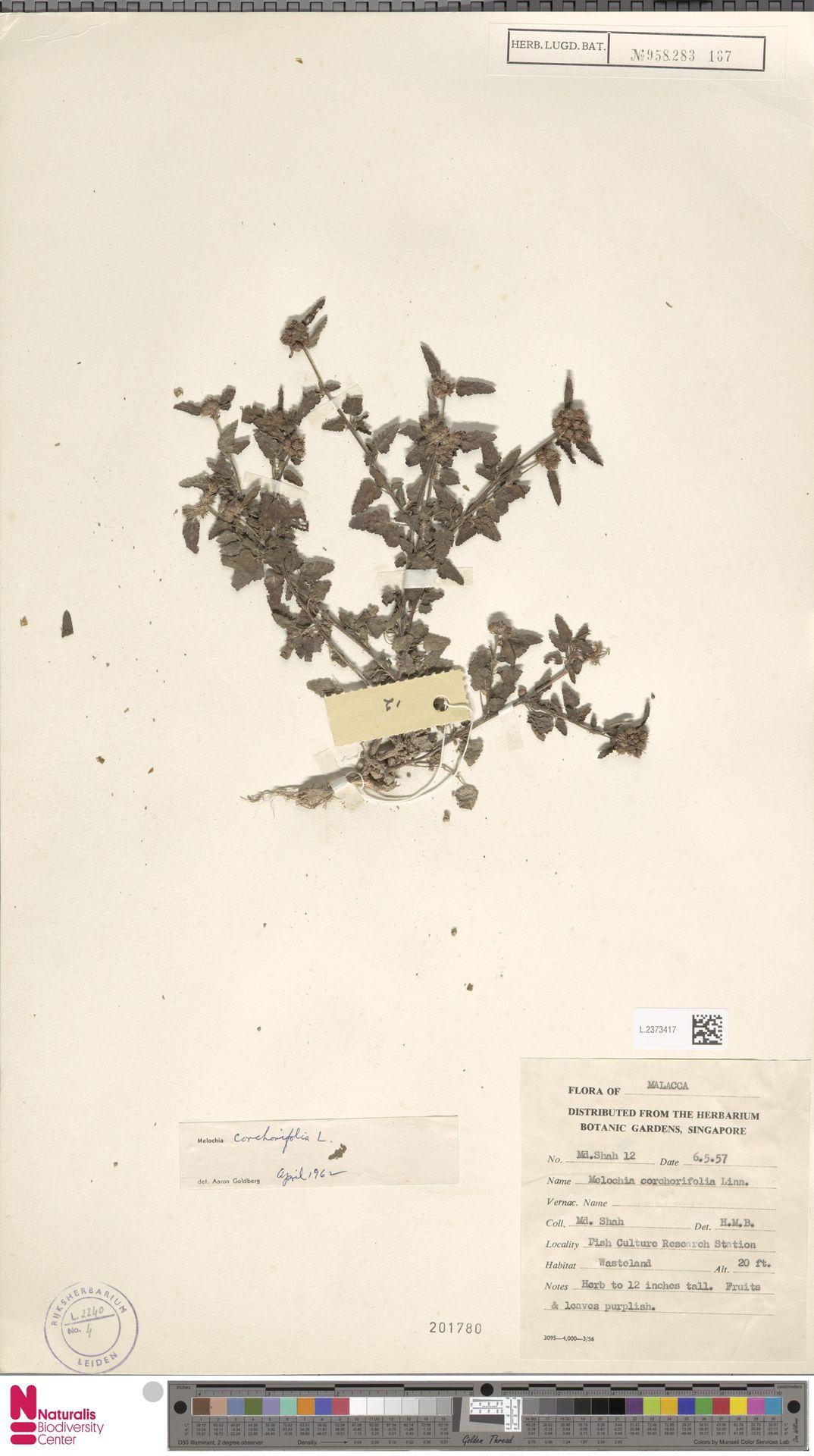 L.2373417 | Melochia corchorifolia L.