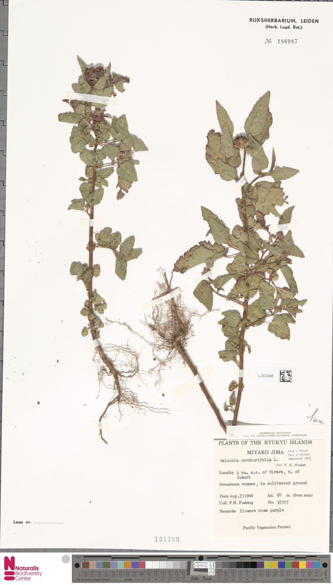 L.2373468 | Melochia corchorifolia L.