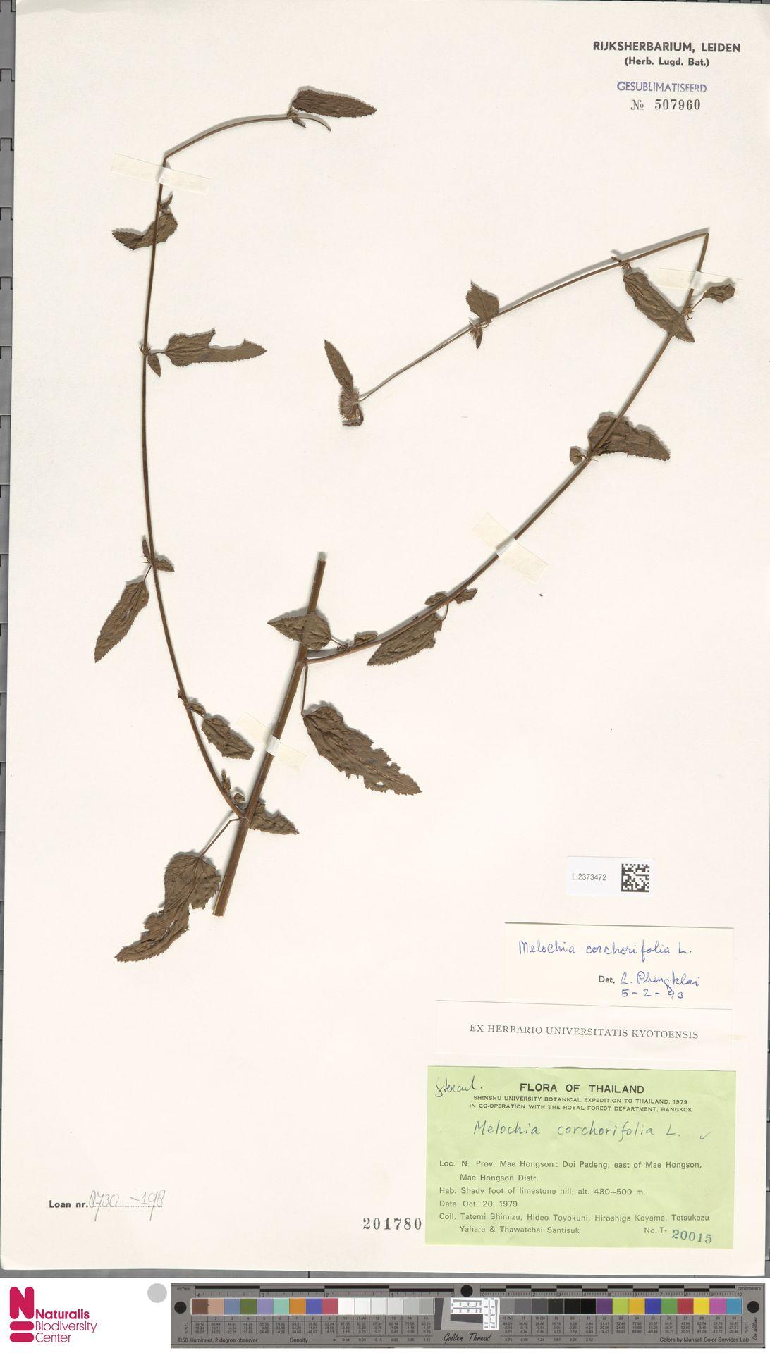 L.2373472 | Melochia corchorifolia L.