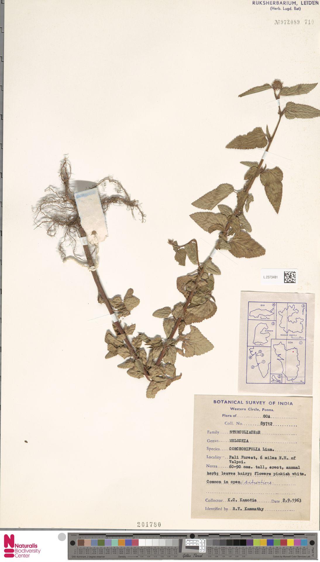 L.2373481 | Melochia corchorifolia L.