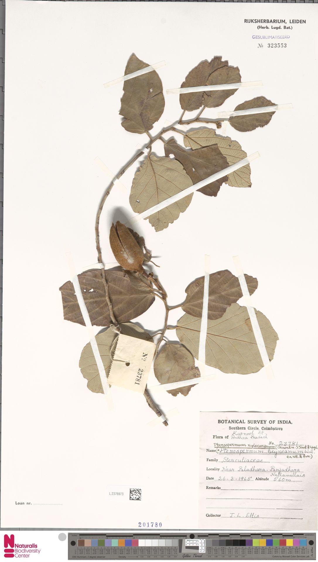 L.2376973 | Pterospermum xylocarpum (Gaertn.) Oken