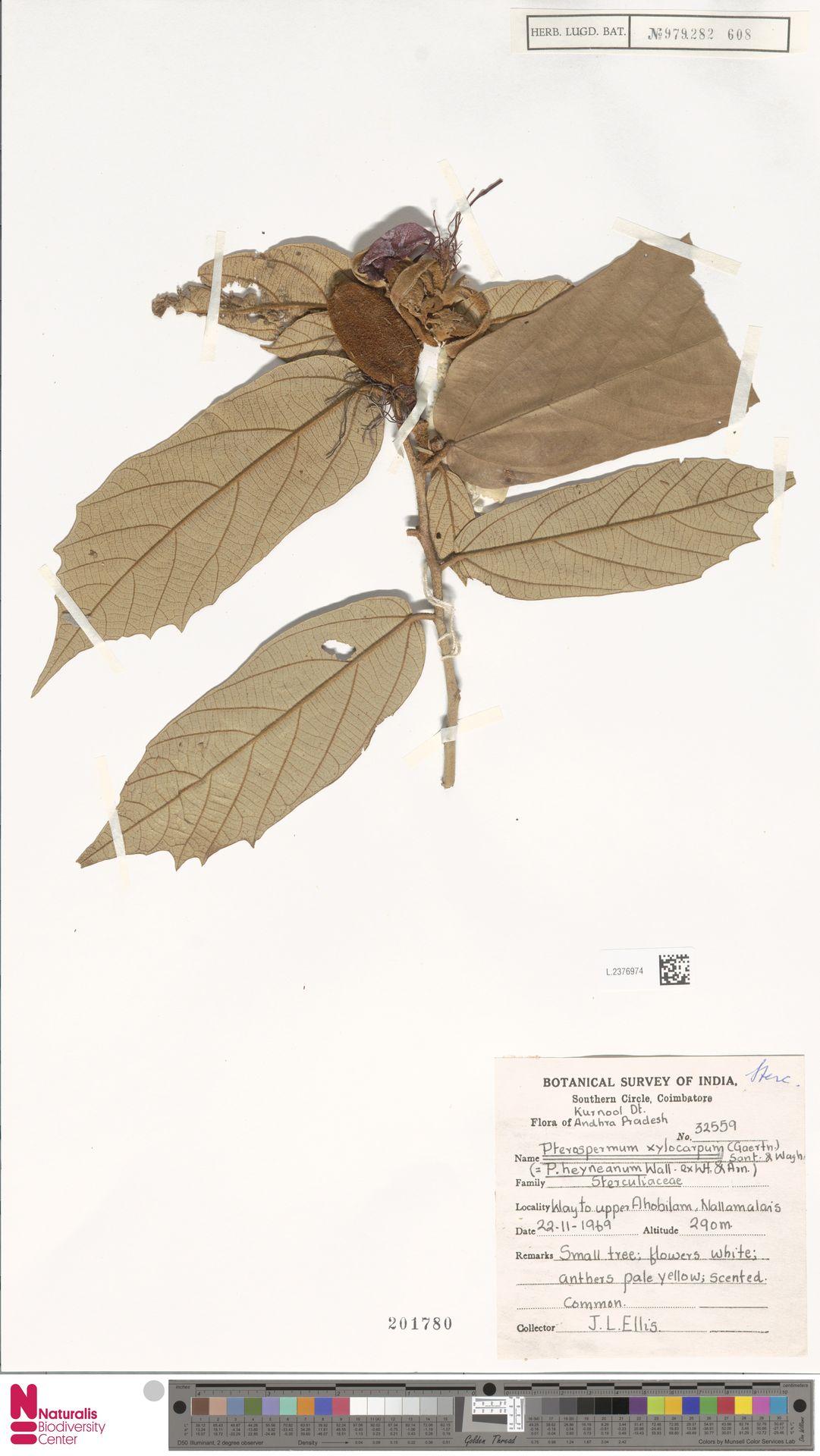 L.2376974 | Pterospermum xylocarpum (Gaertn.) Oken