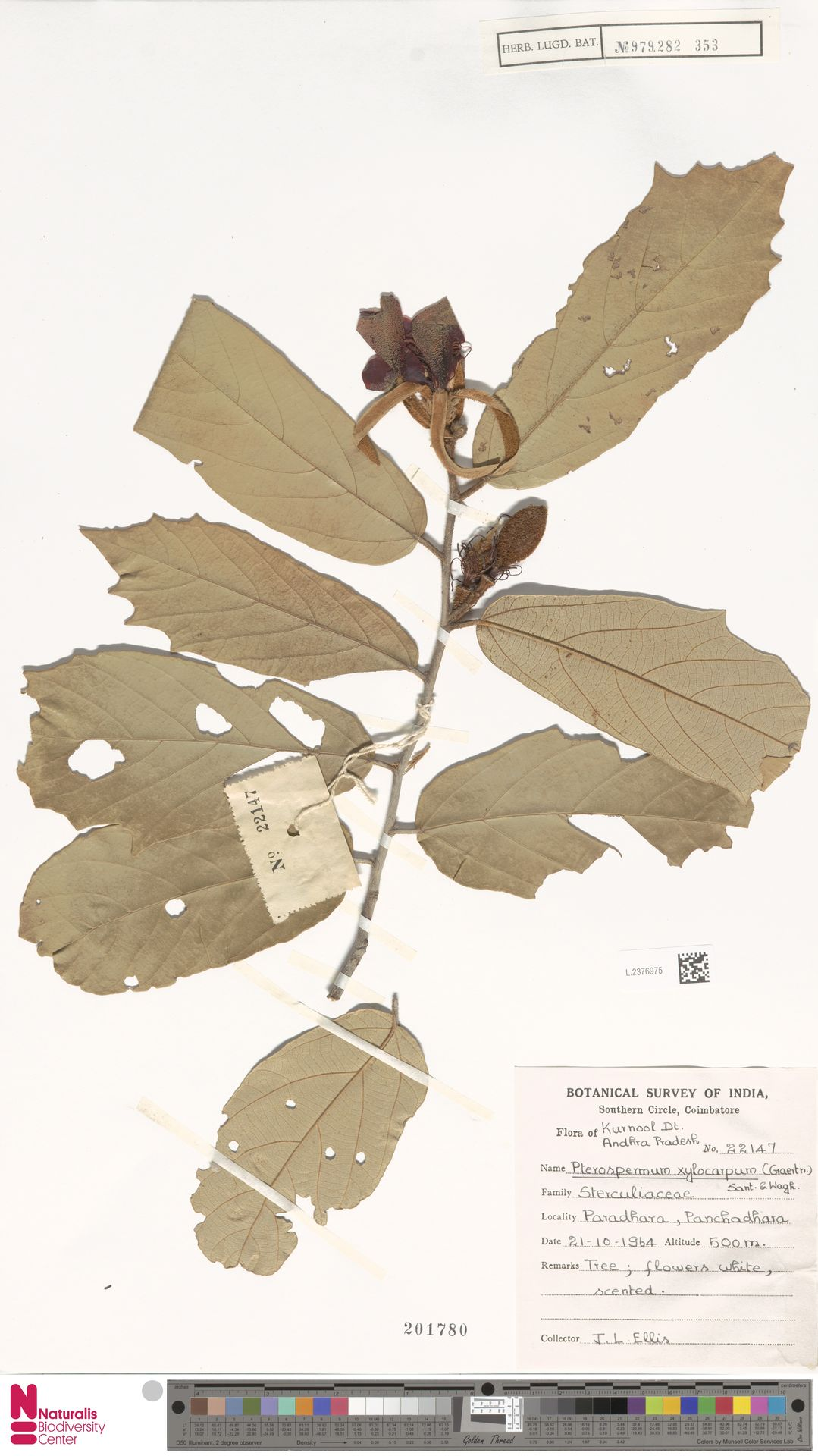 L.2376975 | Pterospermum xylocarpum (Gaertn.) Oken