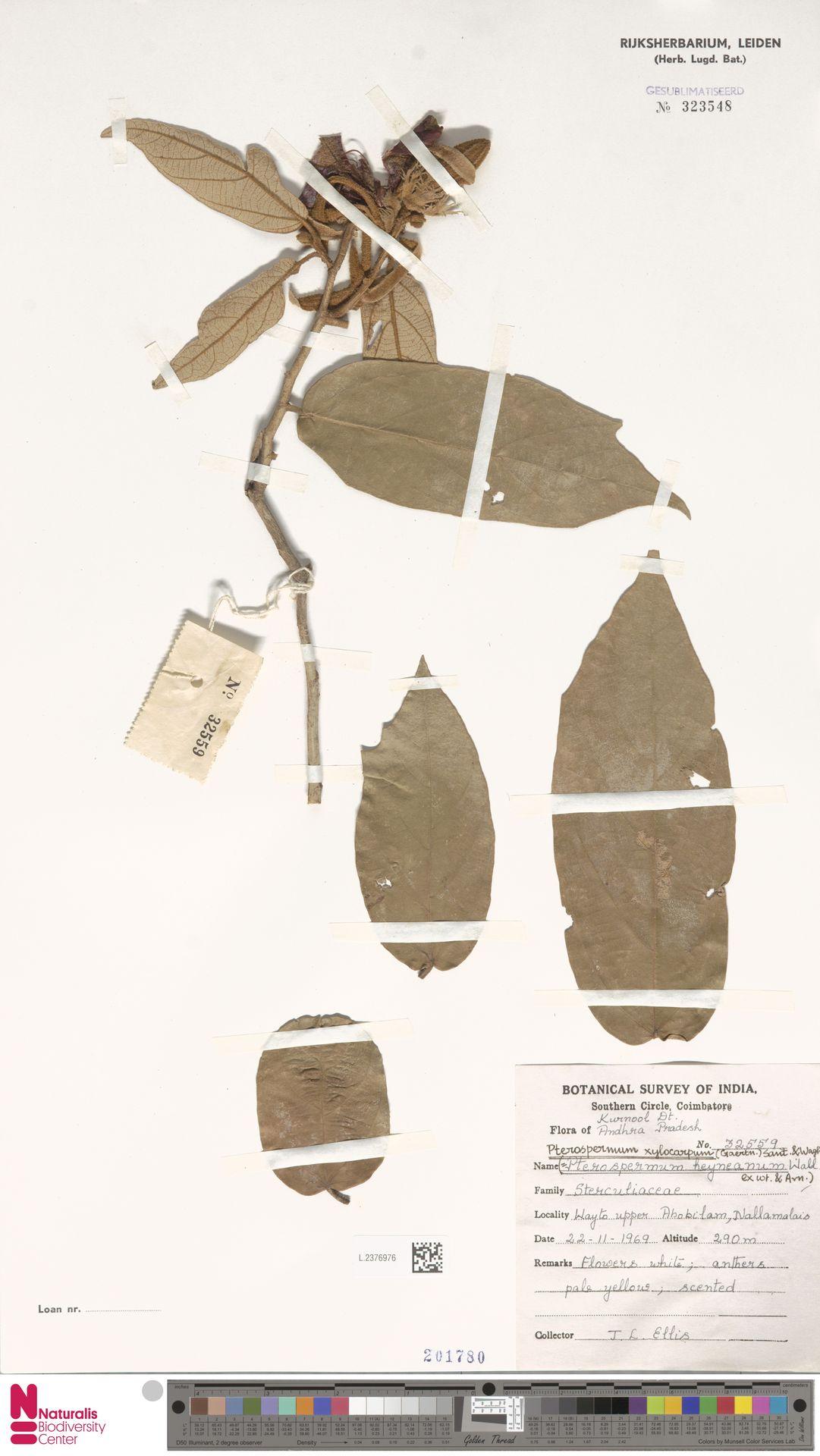 L.2376976   Pterospermum xylocarpum (Gaertn.) Oken
