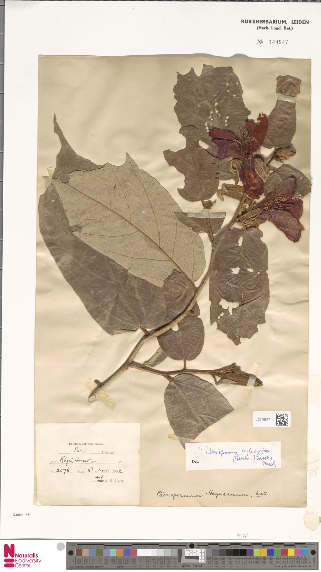 L.2376977 | Pterospermum xylocarpum (Gaertn.) Oken