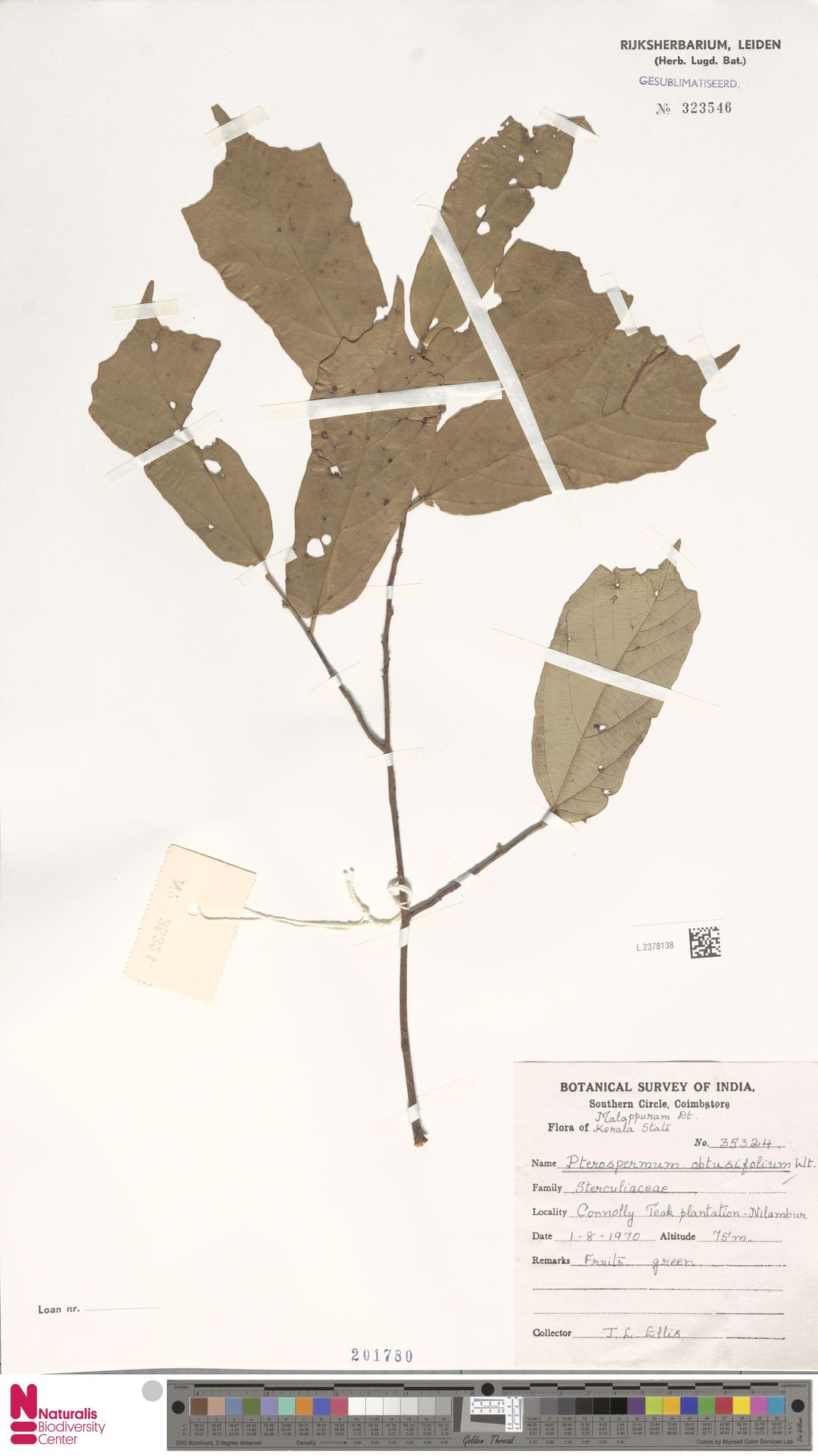L.2378138 | Pterospermum obtusifolium Wight ex Mast.