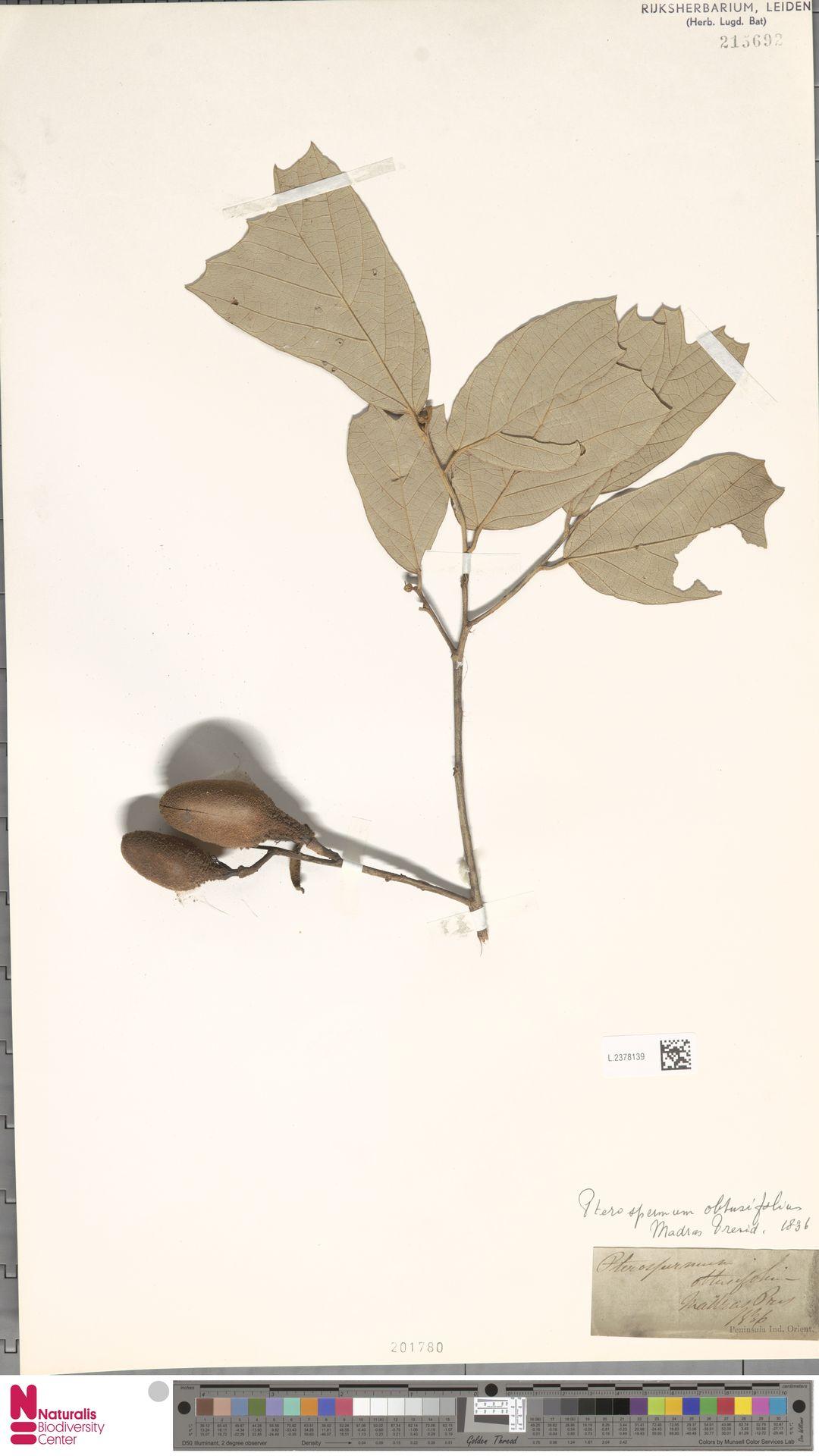 L.2378139 | Pterospermum obtusifolium Wight ex Mast.