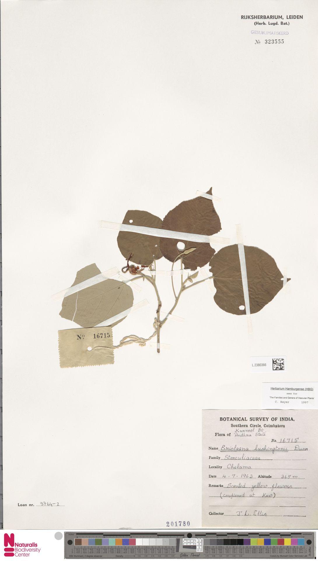L.2380366 | Eriolaena lushingtonii Dunn