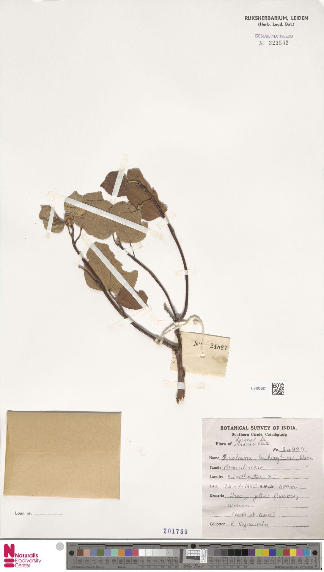 L.2380367 | Eriolaena lushingtonii Dunn