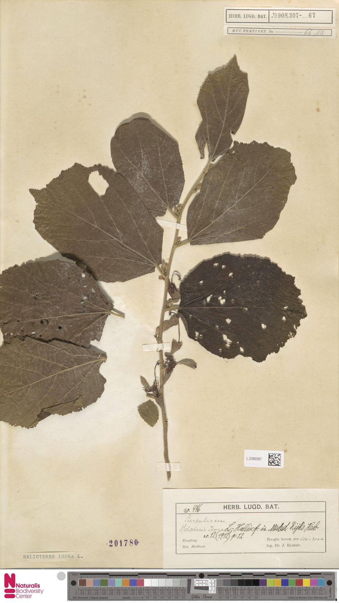 L.2380387 | Helicteres isora L.