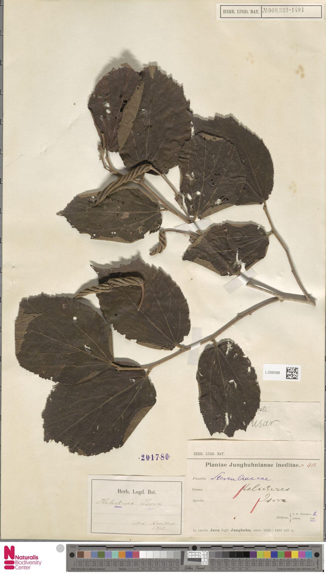 L.2380388 | Helicteres isora L.