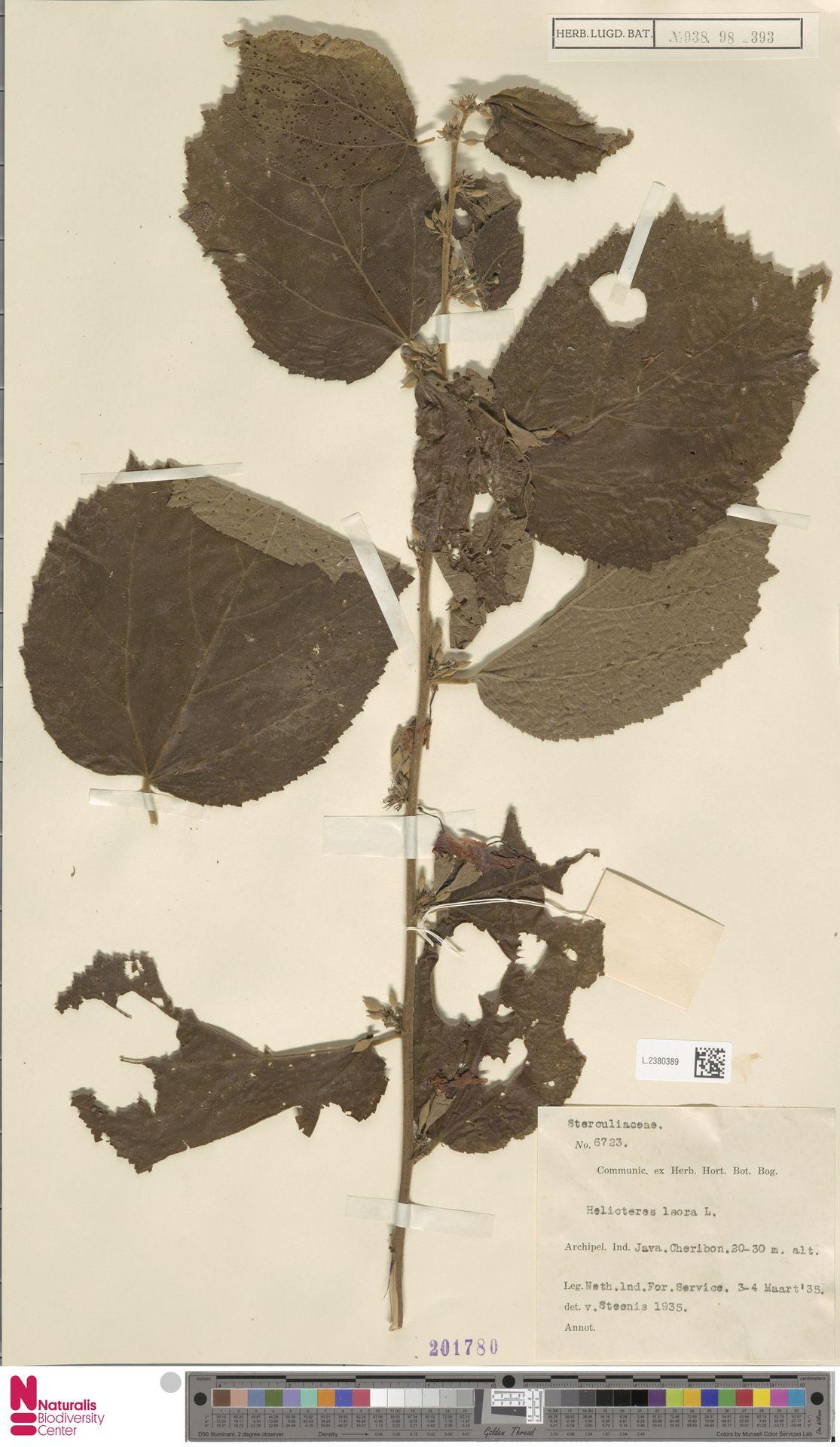 L.2380389 | Helicteres isora L.