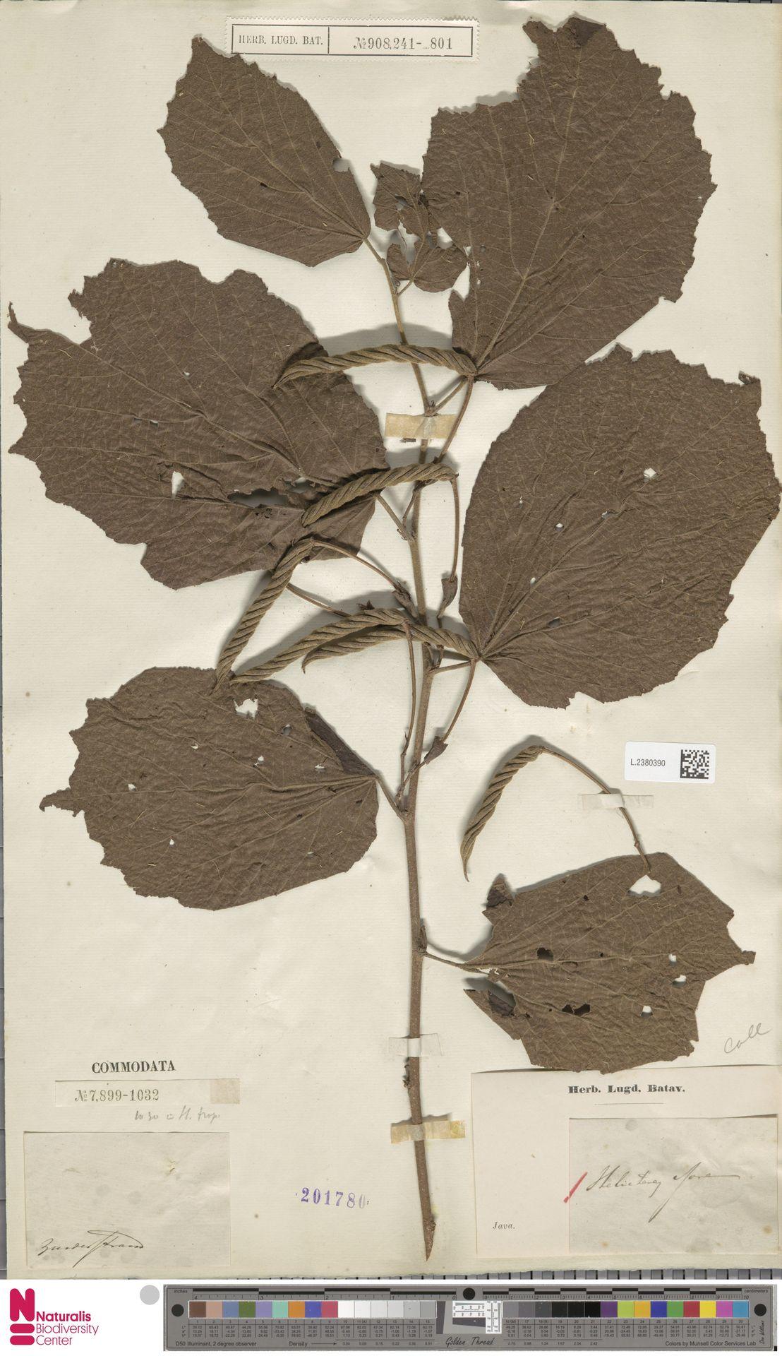 L.2380390 | Helicteres isora L.