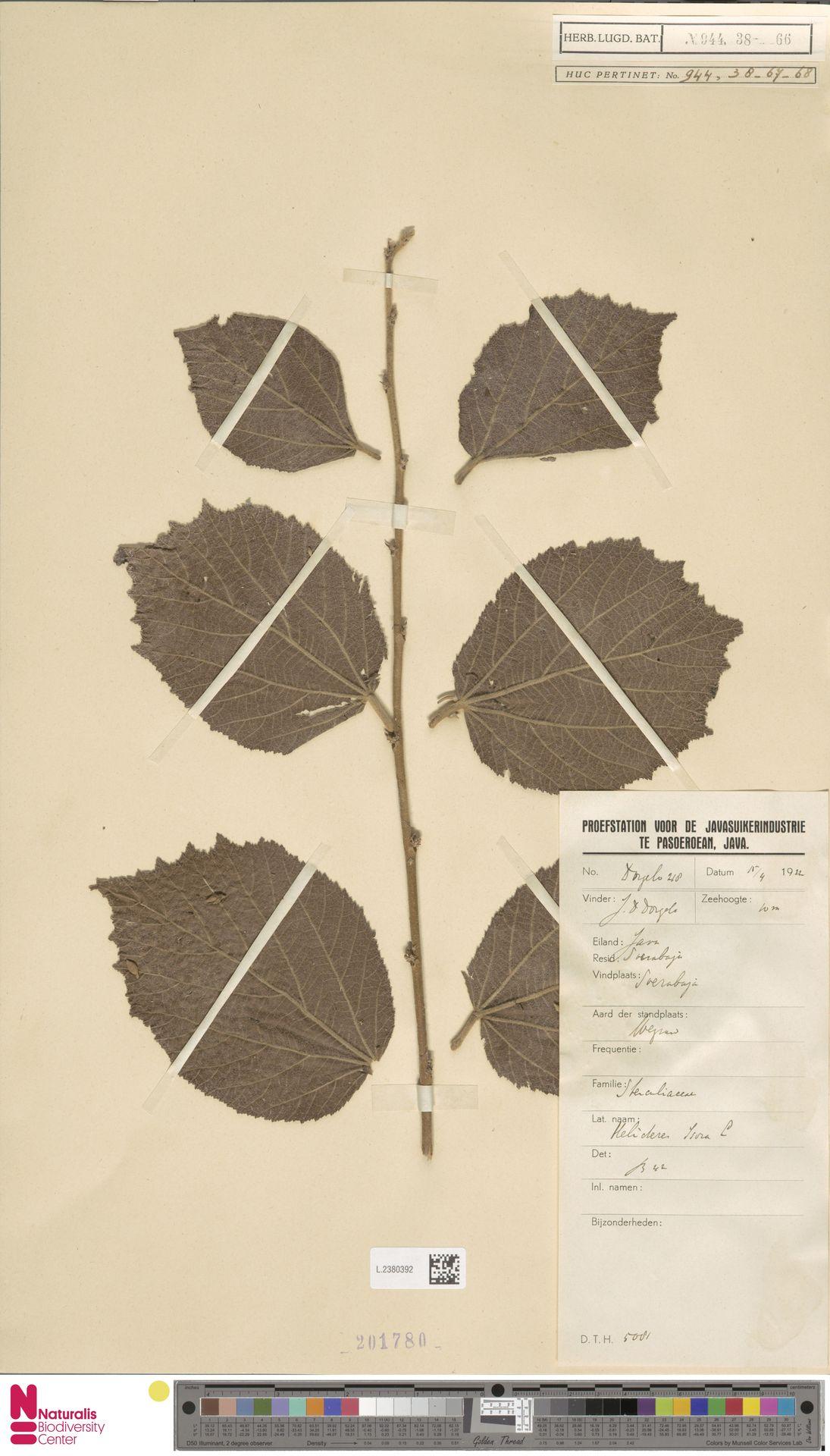 L.2380392 | Helicteres isora L.