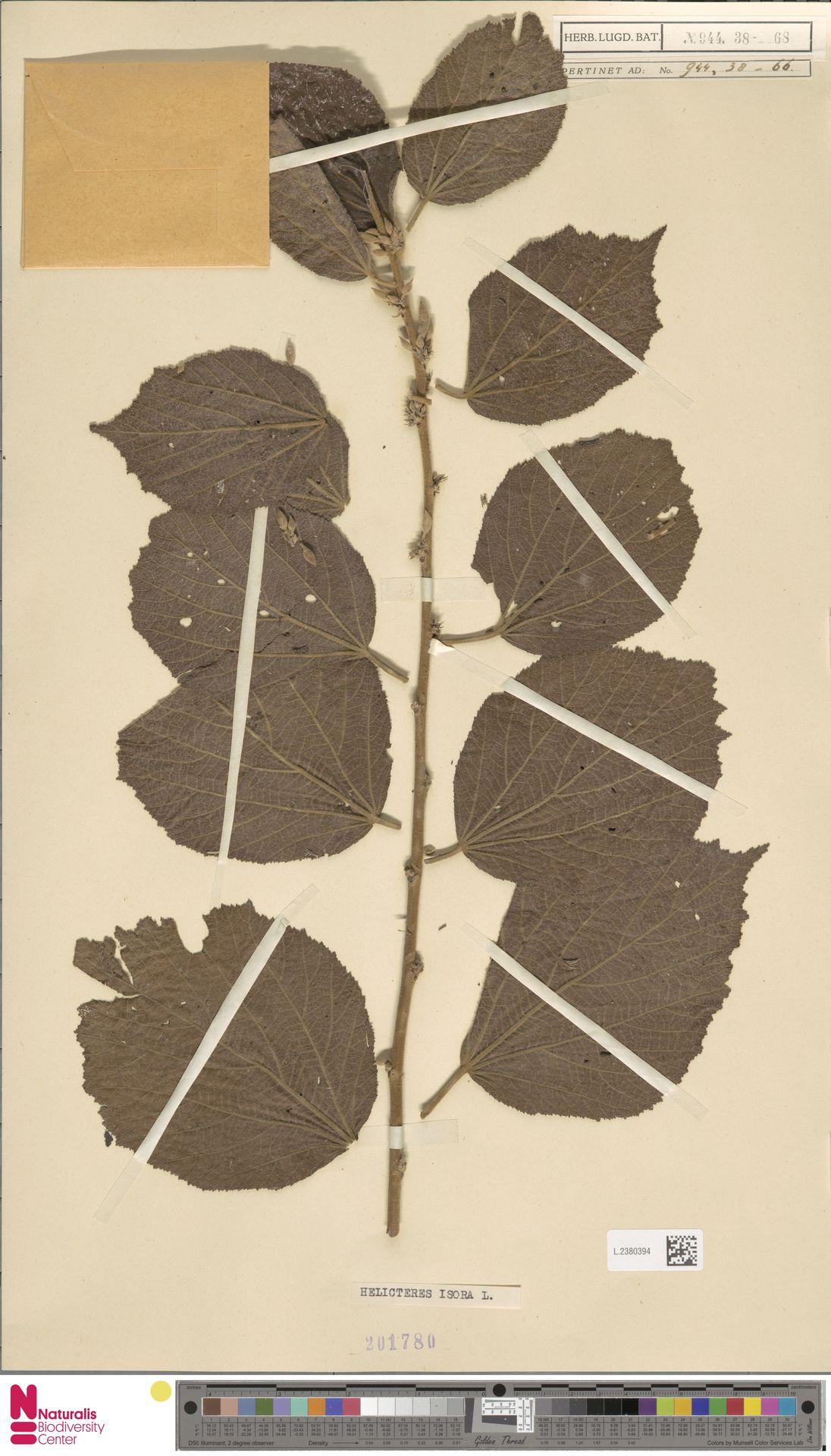 L.2380394 | Helicteres isora L.