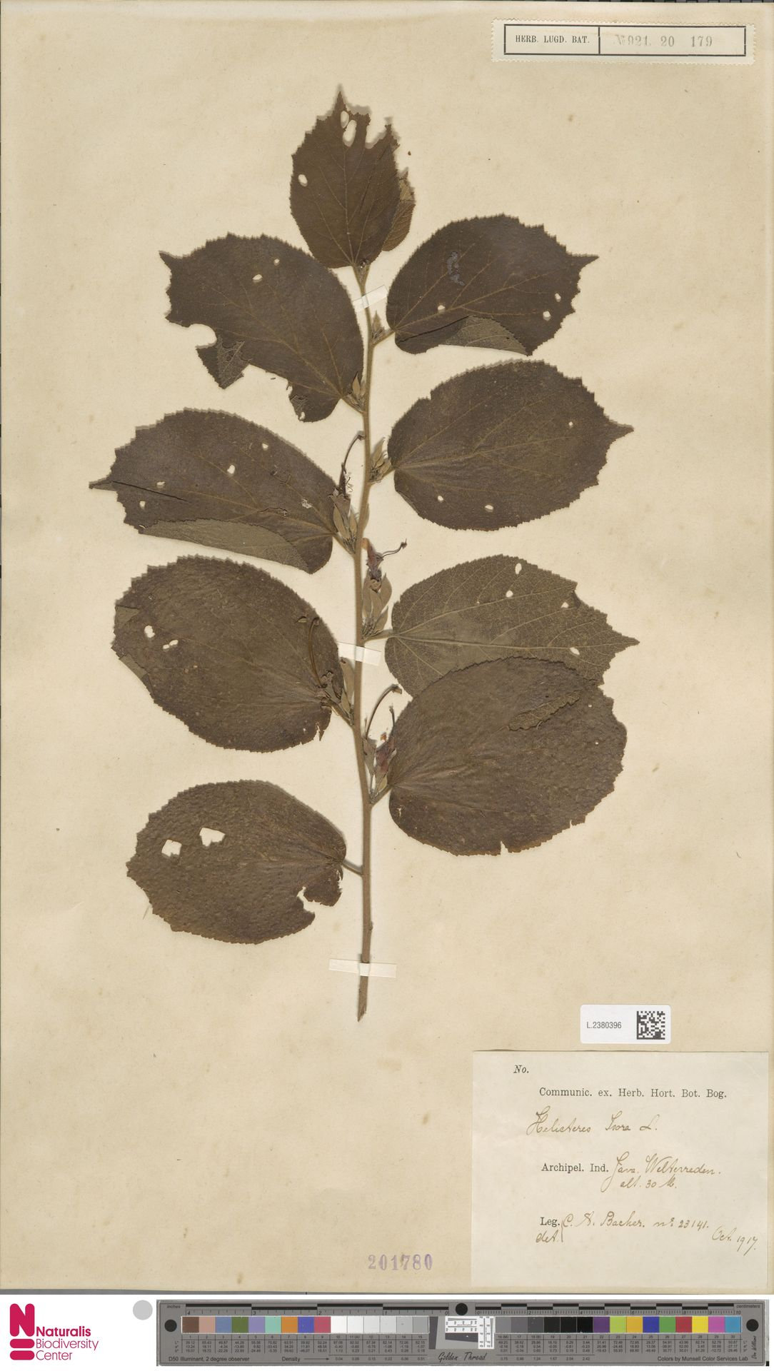 L.2380396 | Helicteres isora L.