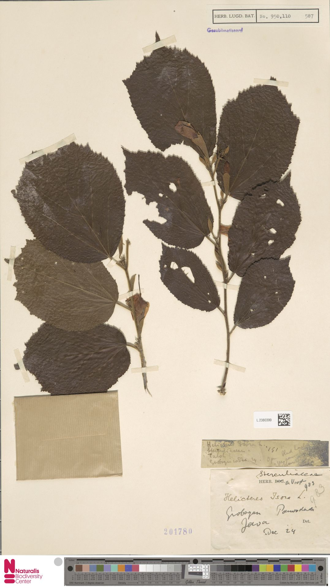 L.2380399 | Helicteres isora L.