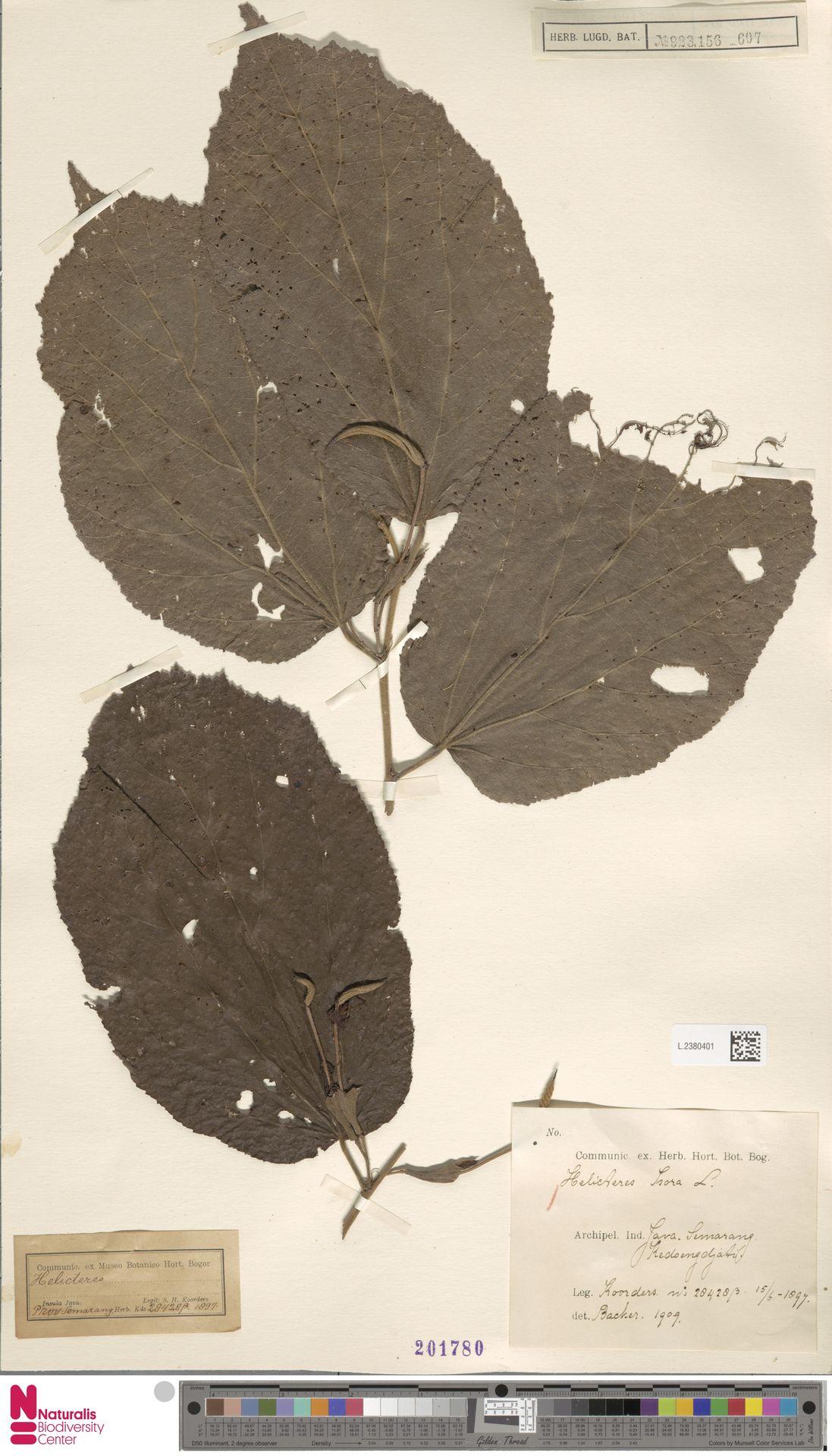 L.2380401 | Helicteres isora L.