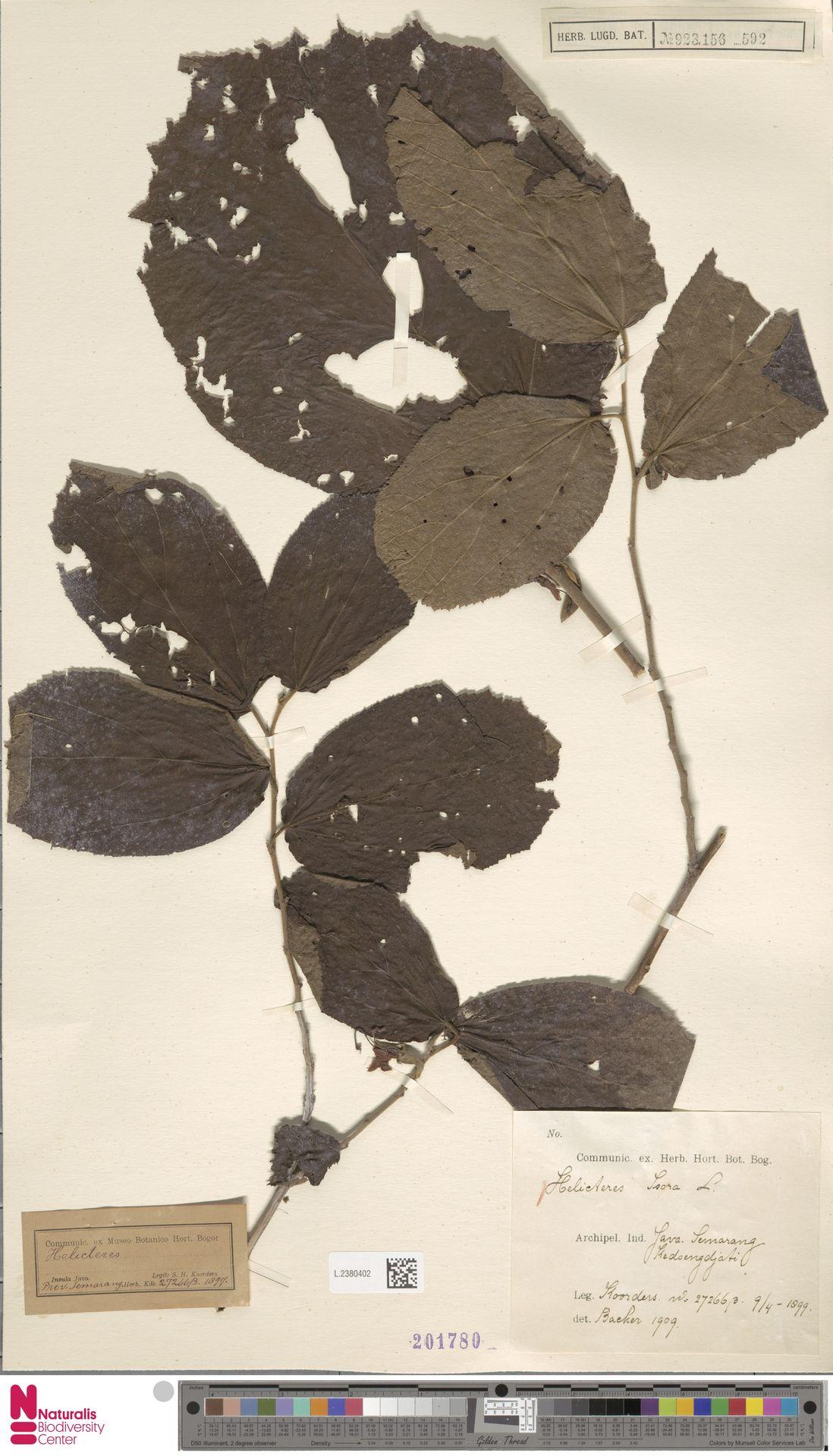 L.2380402   Helicteres isora L.