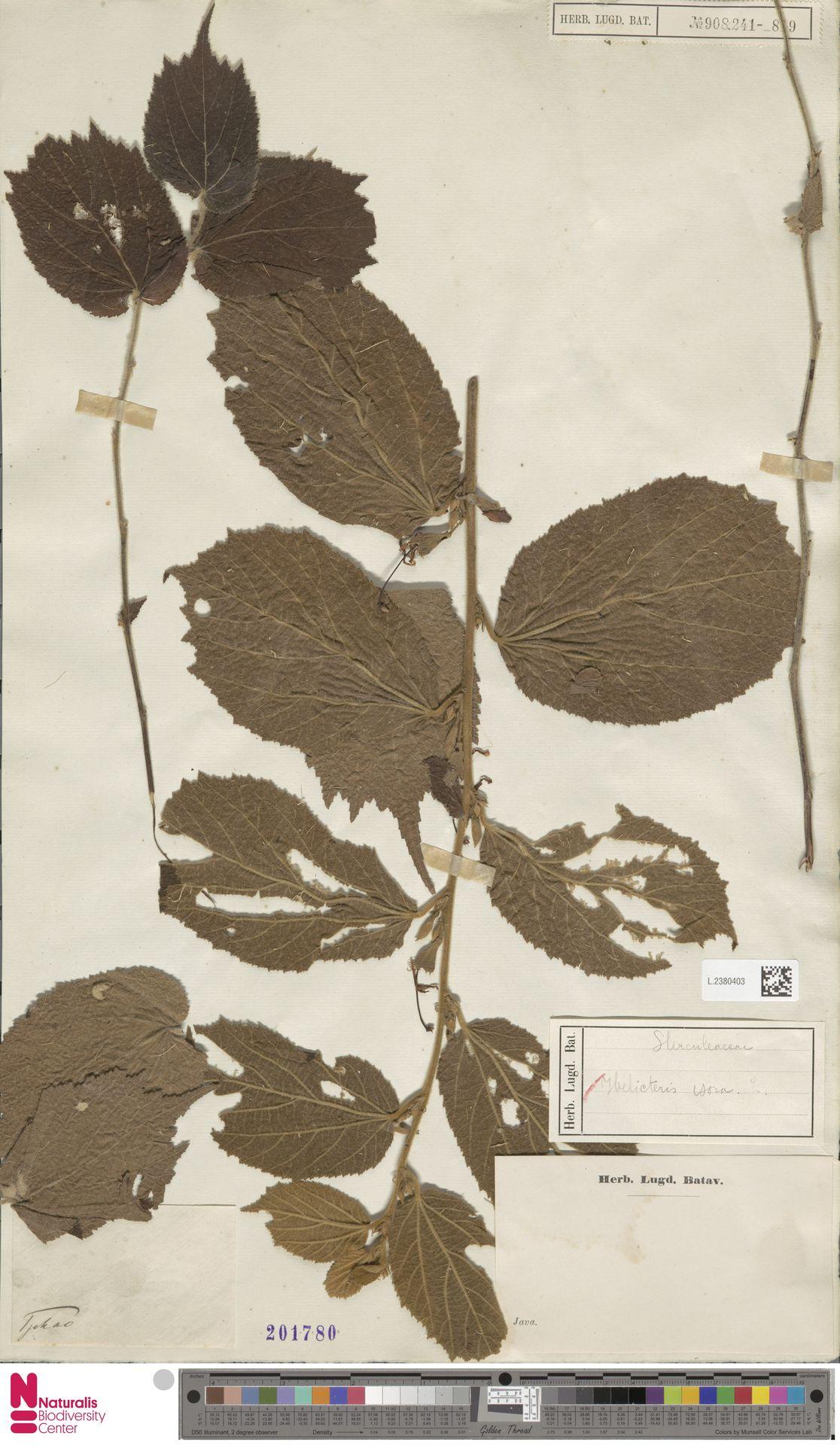 L.2380403 | Helicteres isora L.