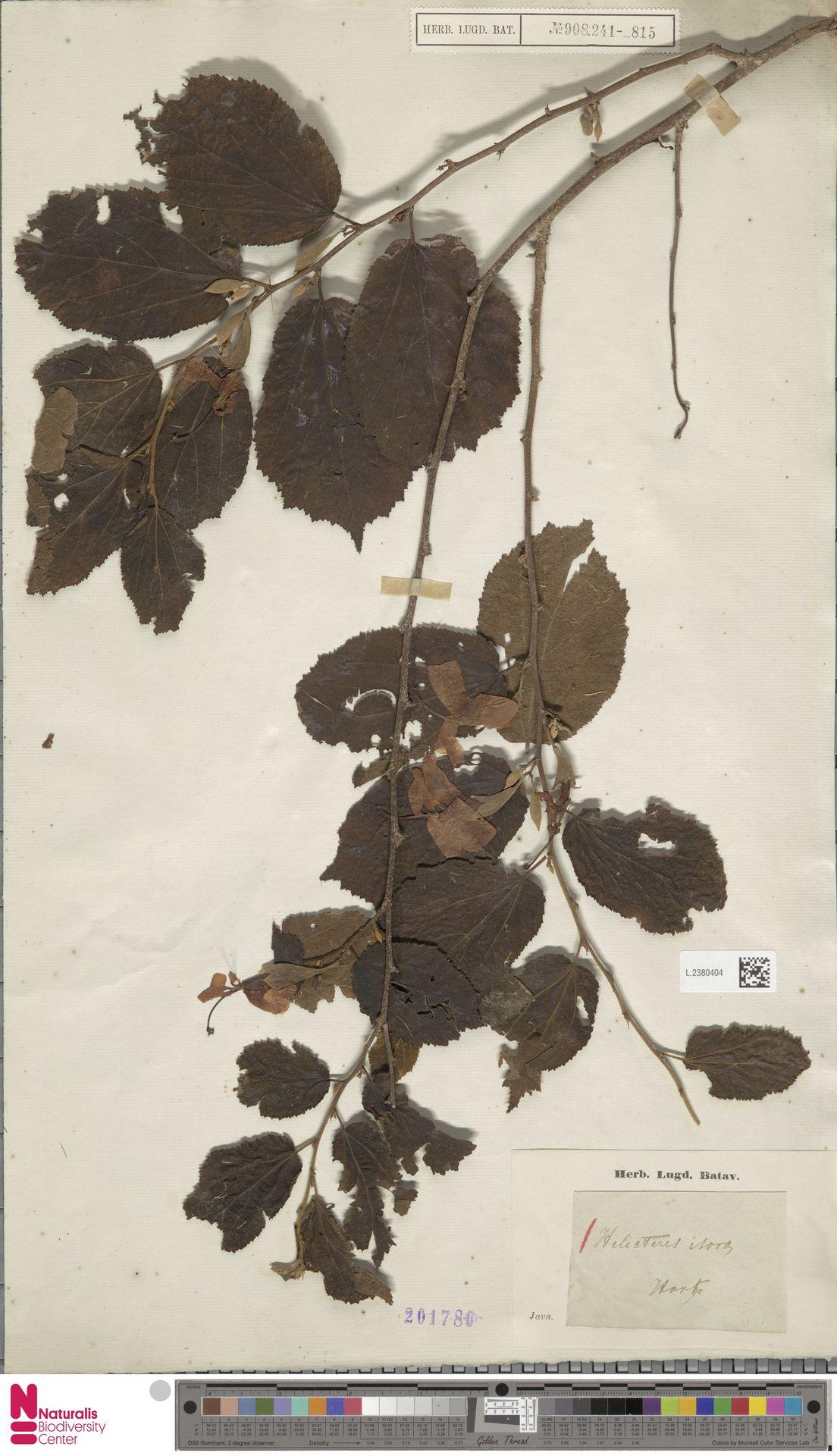 L.2380404 | Helicteres isora L.