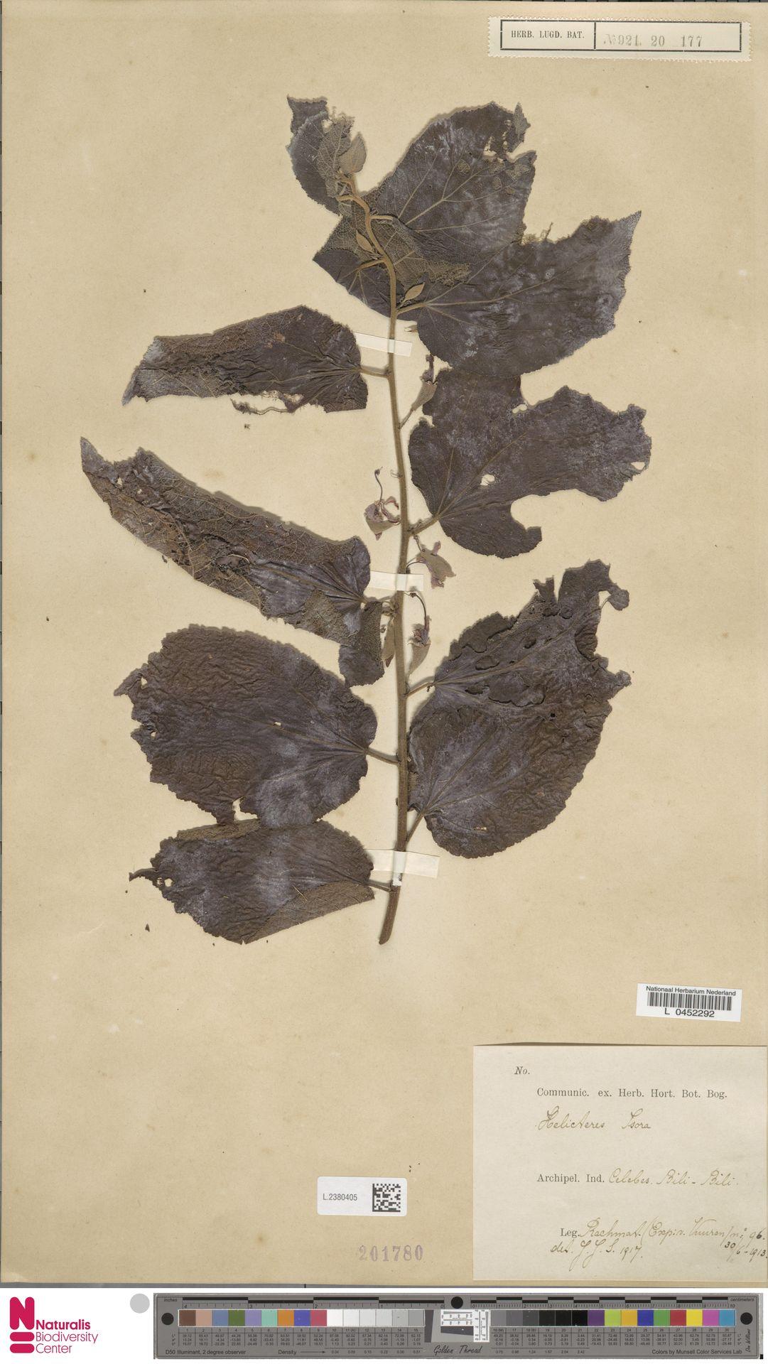 L.2380405 | Helicteres isora L.