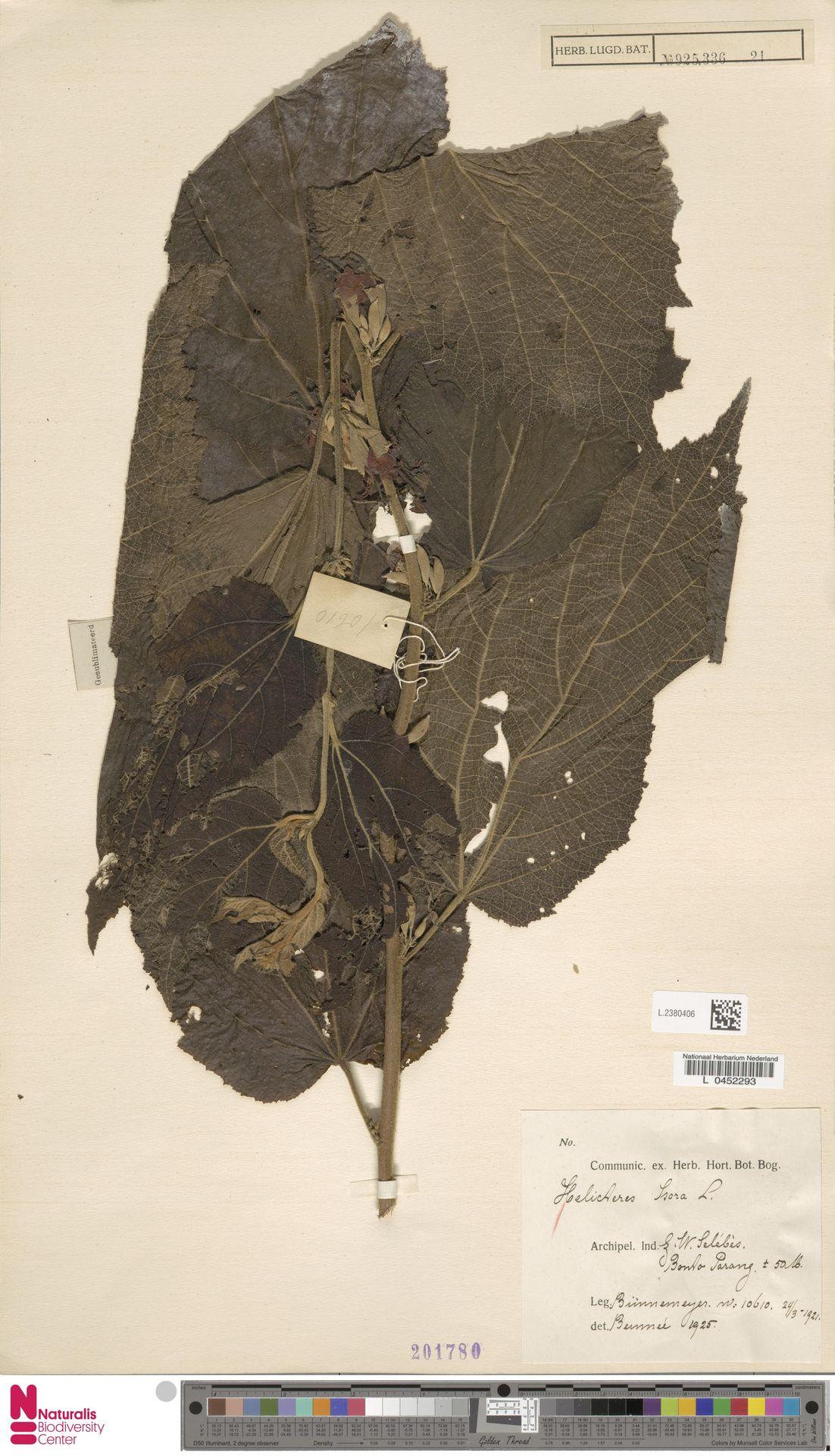 L.2380406 | Helicteres isora L.