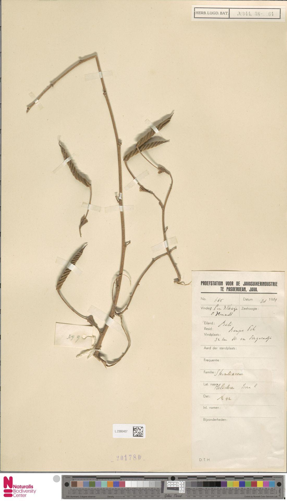L.2380407 | Helicteres isora L.