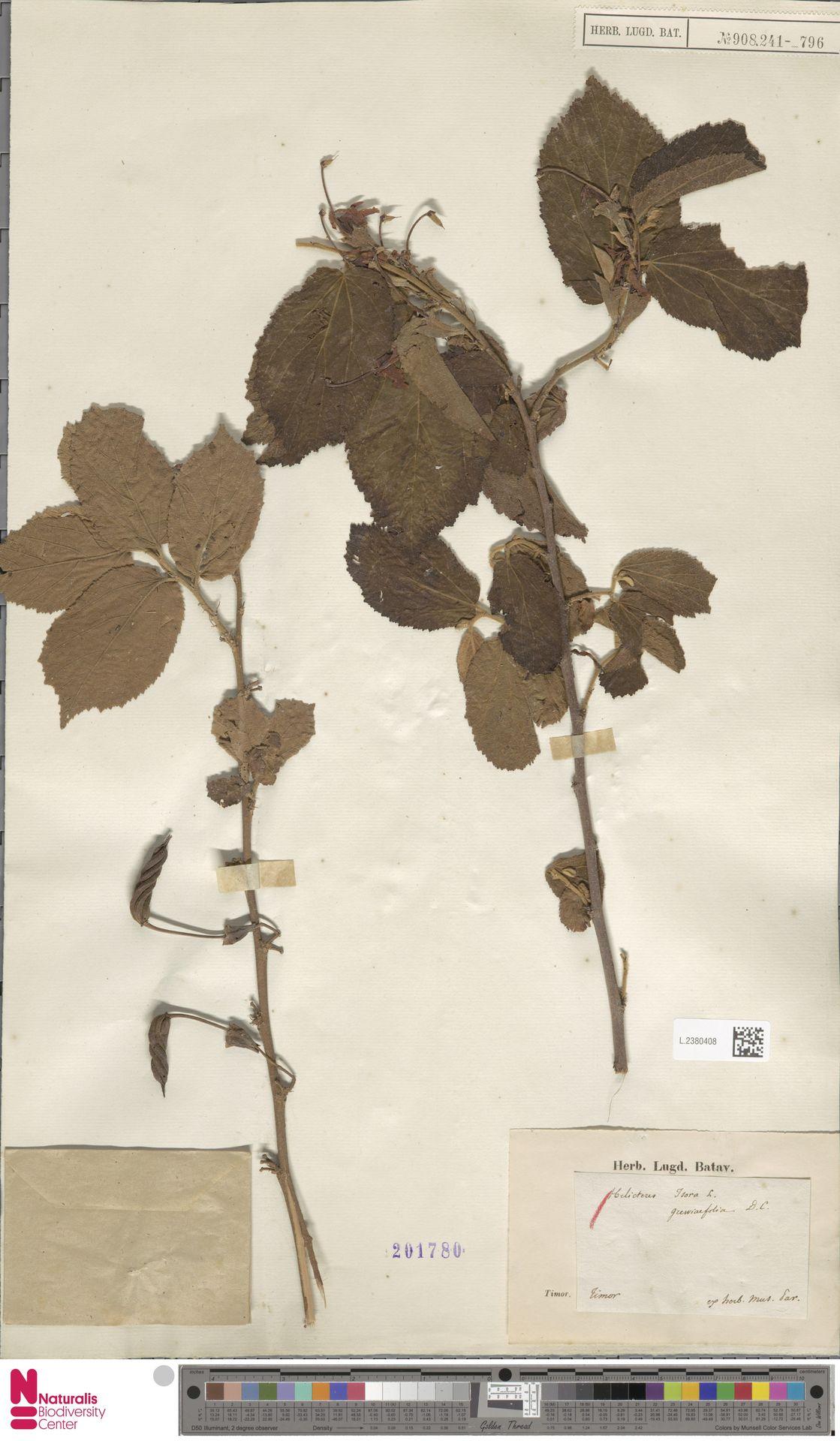 L.2380408 | Helicteres isora L.