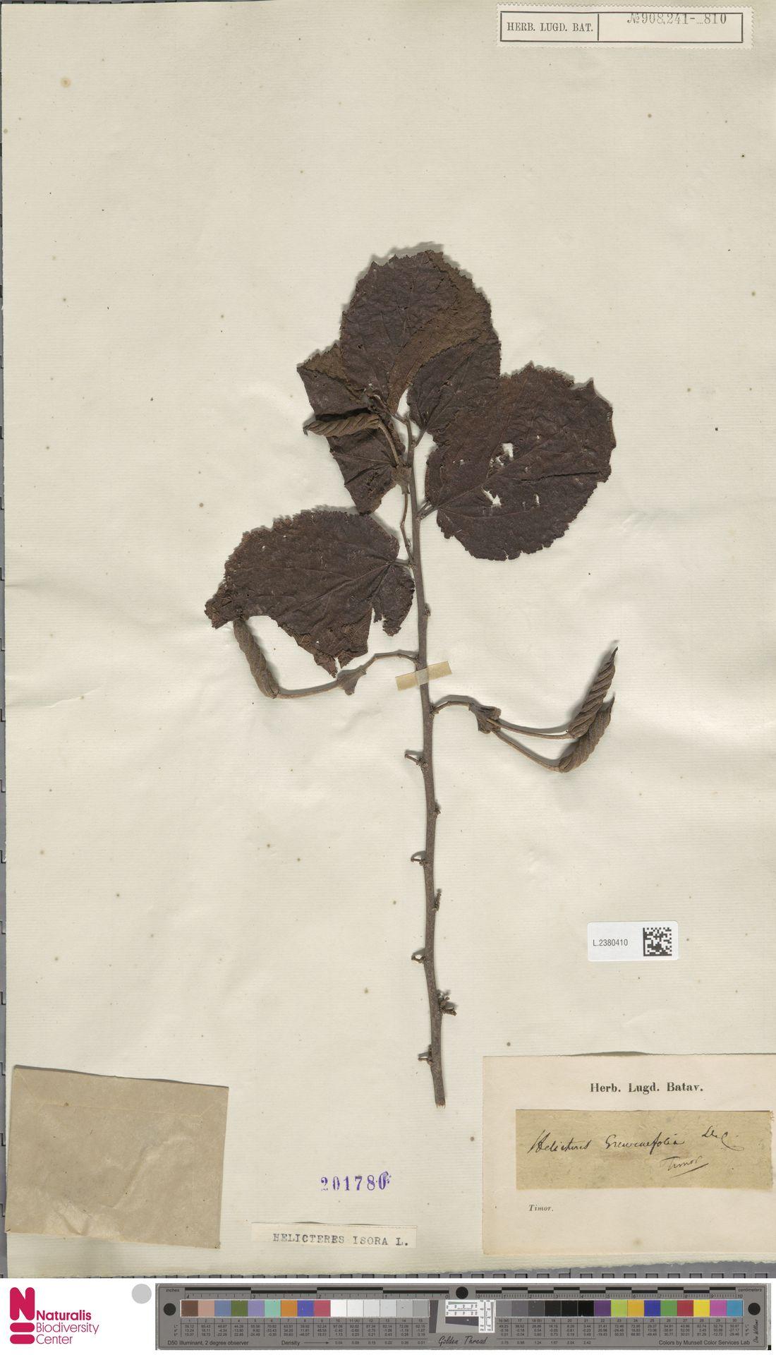 L.2380410 | Helicteres isora L.