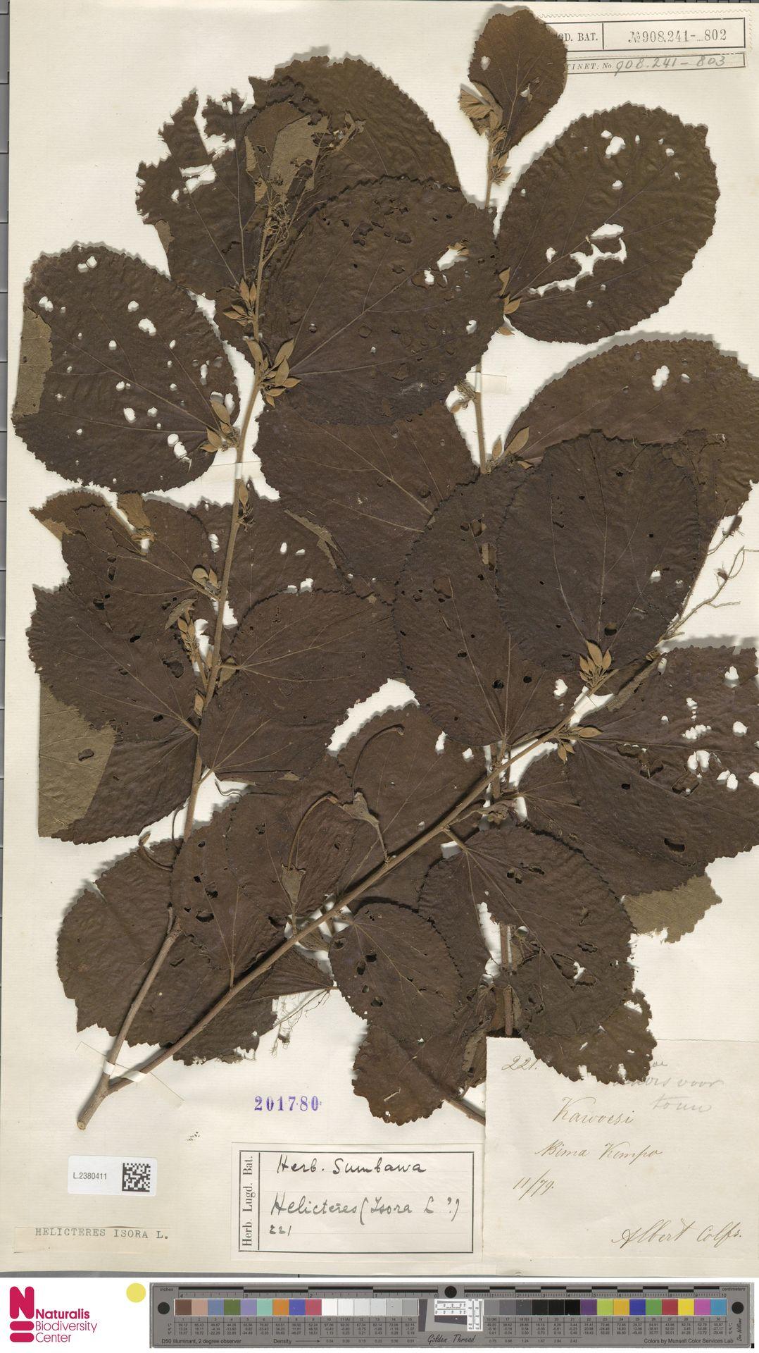 L.2380411 | Helicteres isora L.