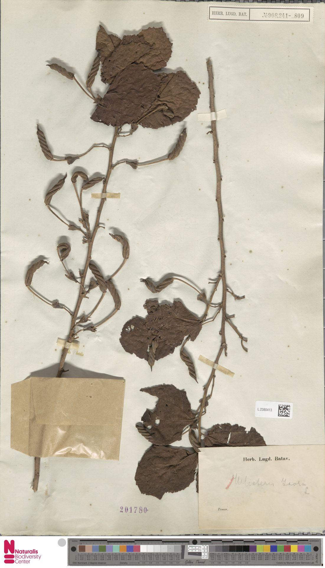 L.2380413 | Helicteres isora L.