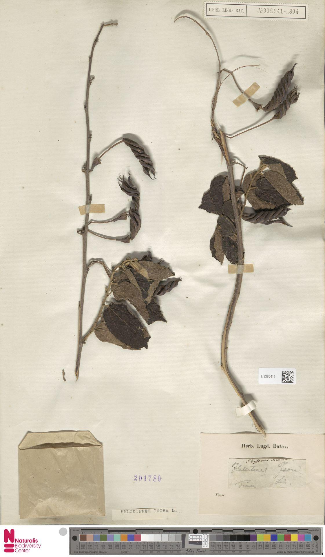L.2380415 | Helicteres isora L.