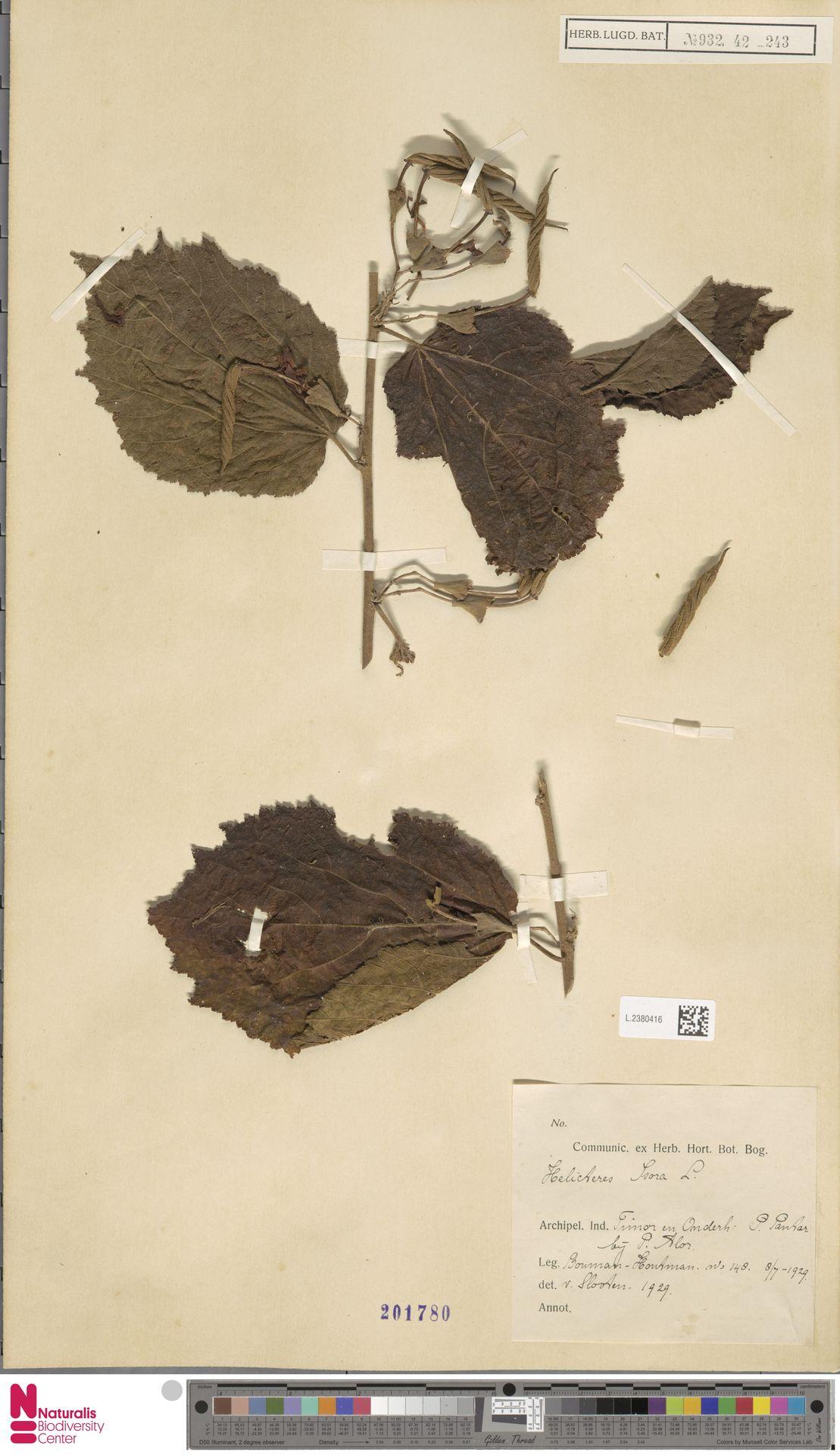L.2380416 | Helicteres isora L.