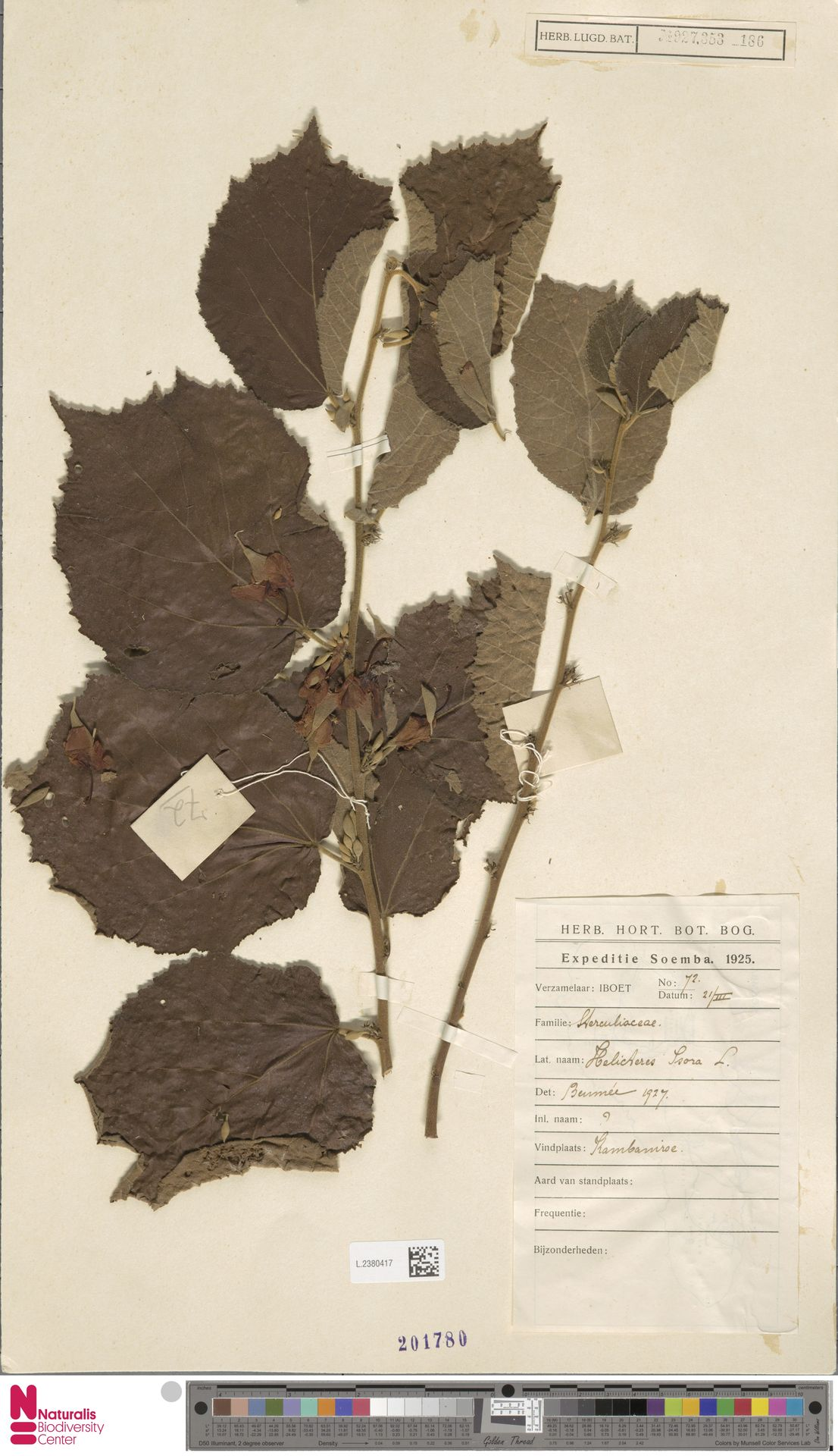 L.2380417 | Helicteres isora L.