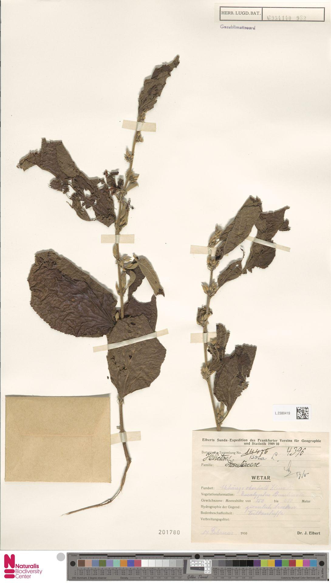 L.2380419 | Helicteres isora L.