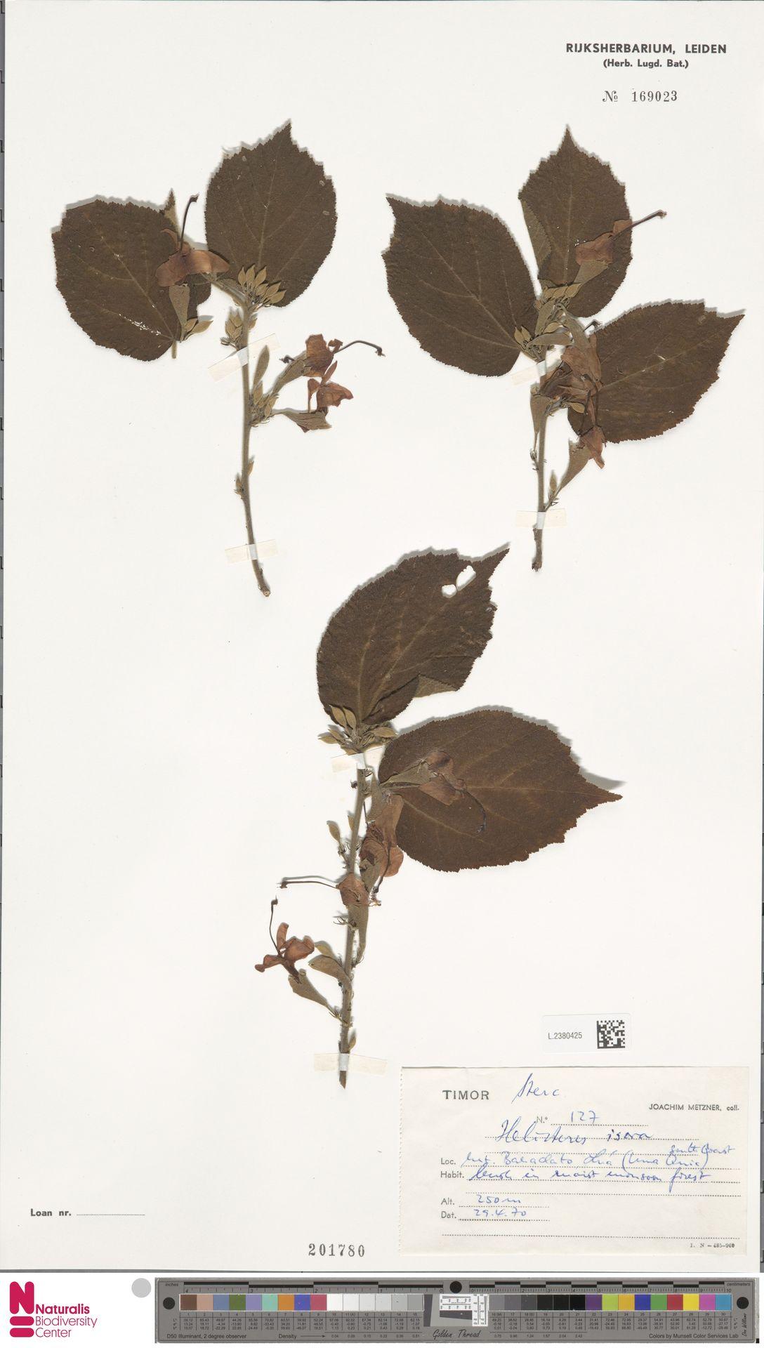 L.2380425 | Helicteres isora L.
