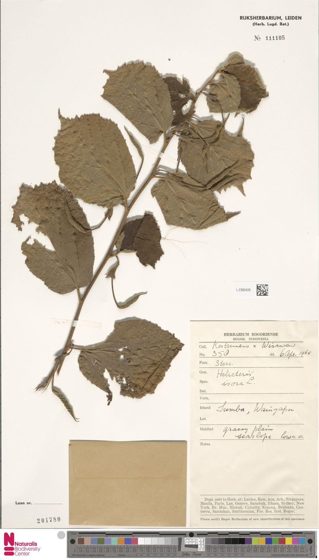 L.2380426 | Helicteres isora L.