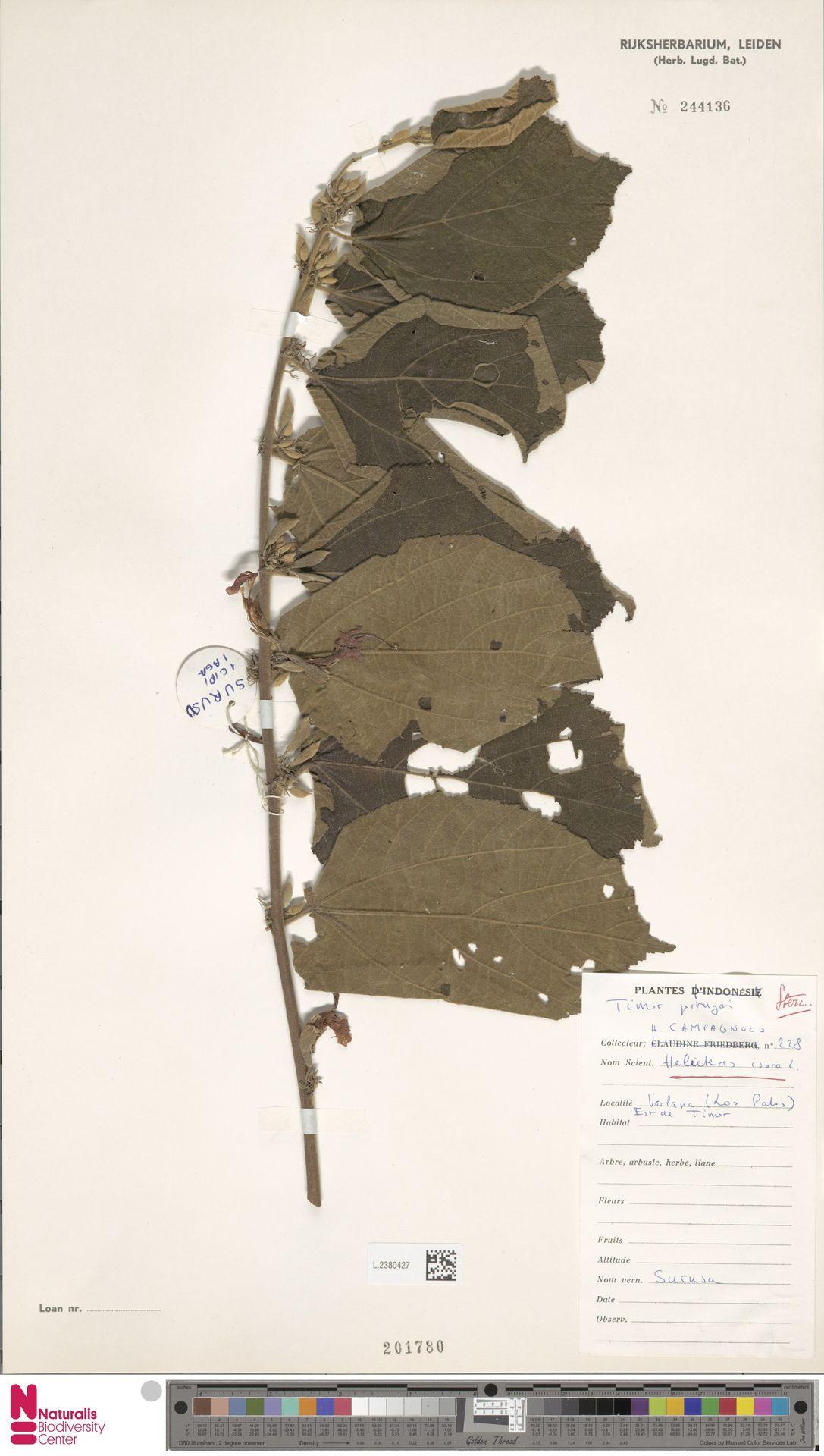 L.2380427 | Helicteres isora L.