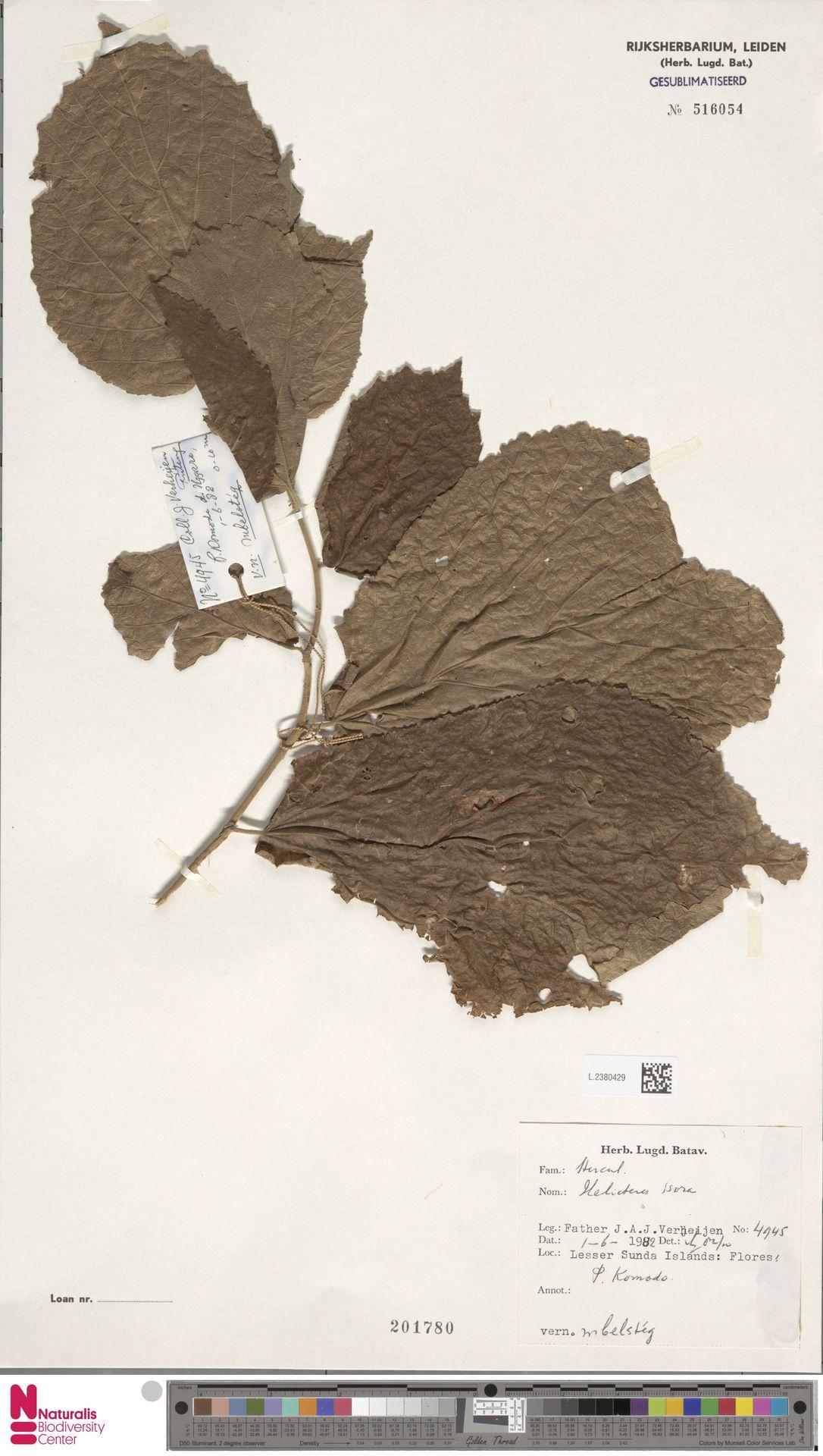 L.2380429 | Helicteres isora L.