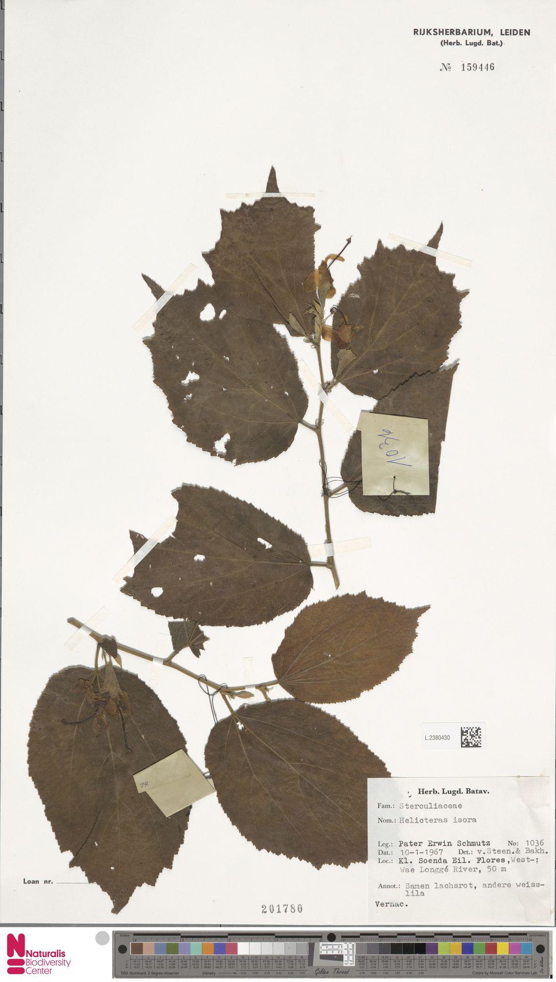 L.2380430 | Helicteres isora L.