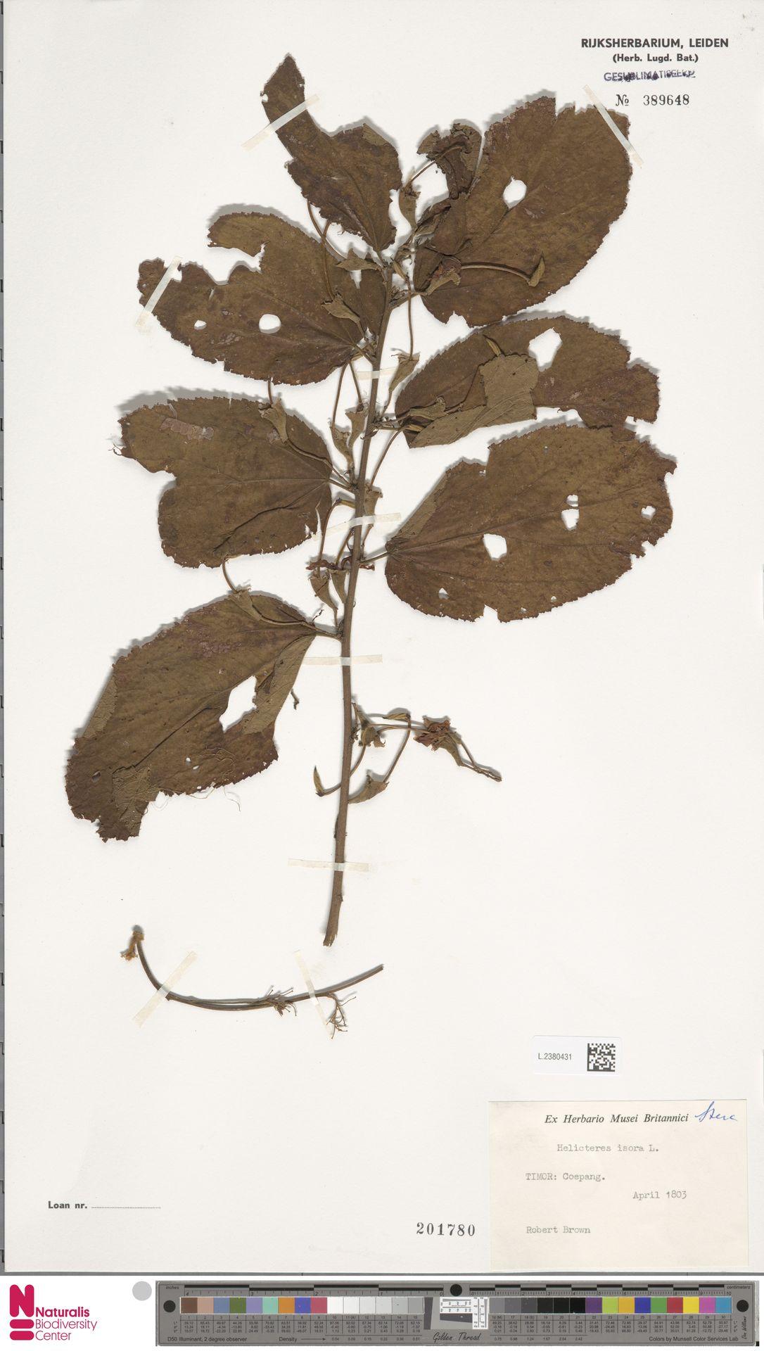 L.2380431 | Helicteres isora L.
