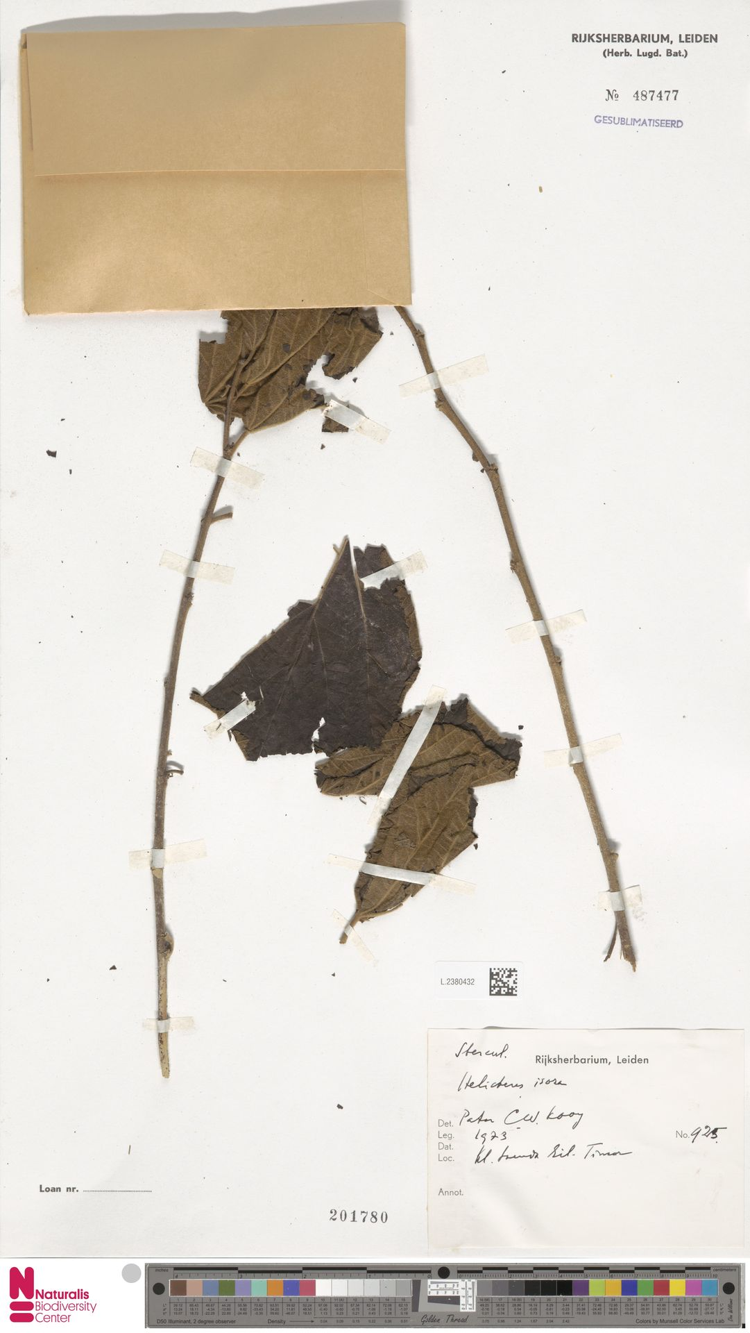 L.2380432 | Helicteres isora L.