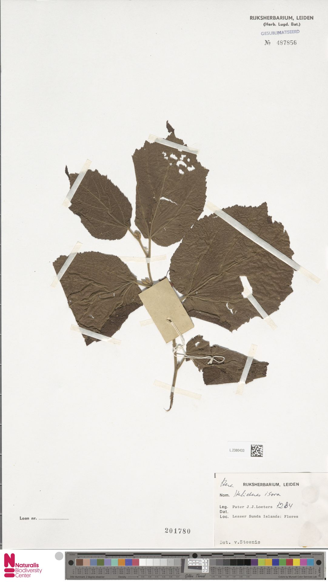 L.2380433 | Helicteres isora L.