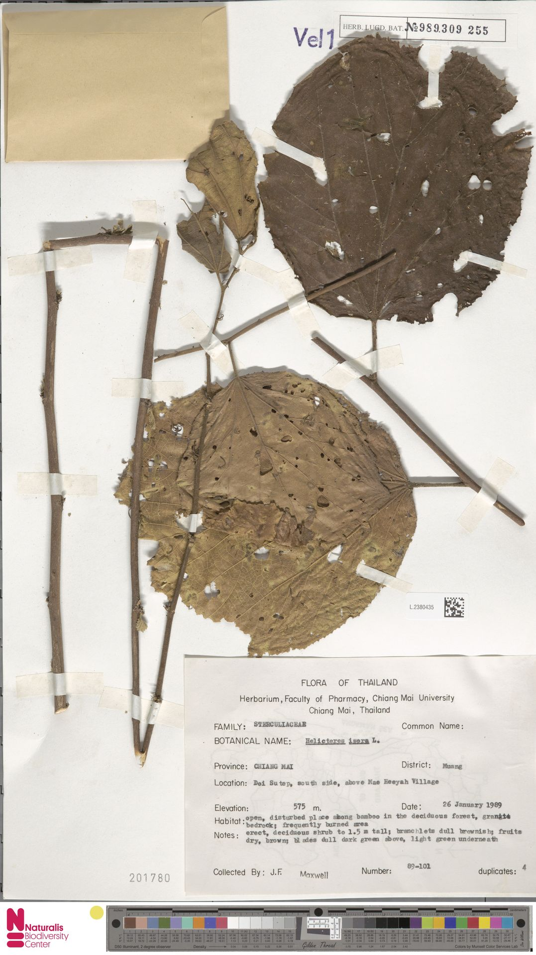 L.2380435 | Helicteres isora L.