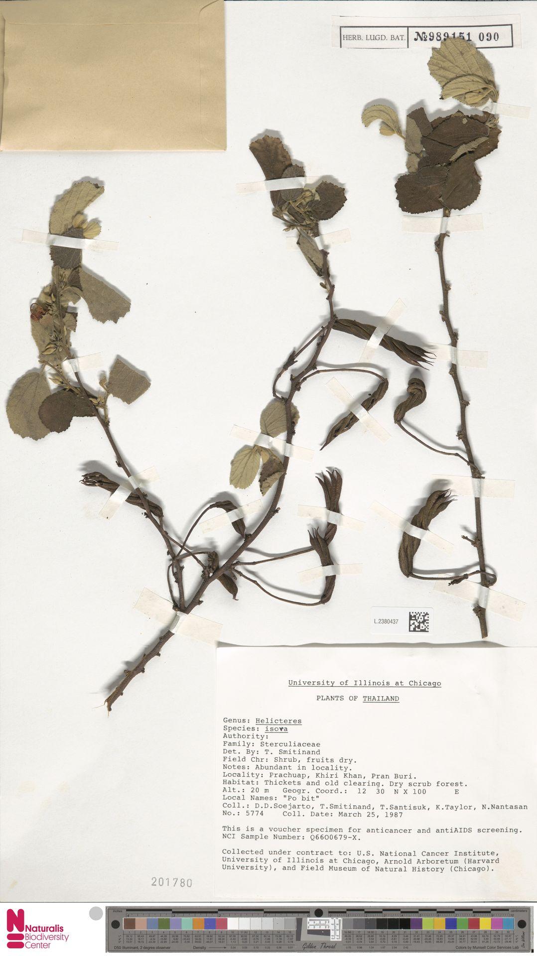 L.2380437   Helicteres isora L.
