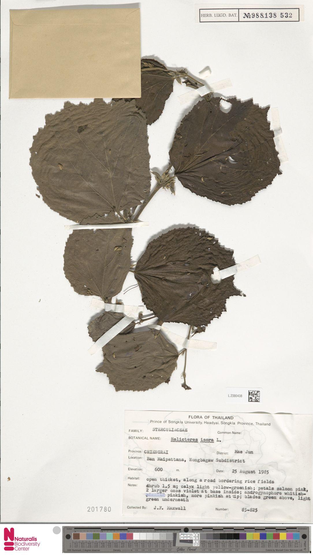 L.2380438   Helicteres isora L.