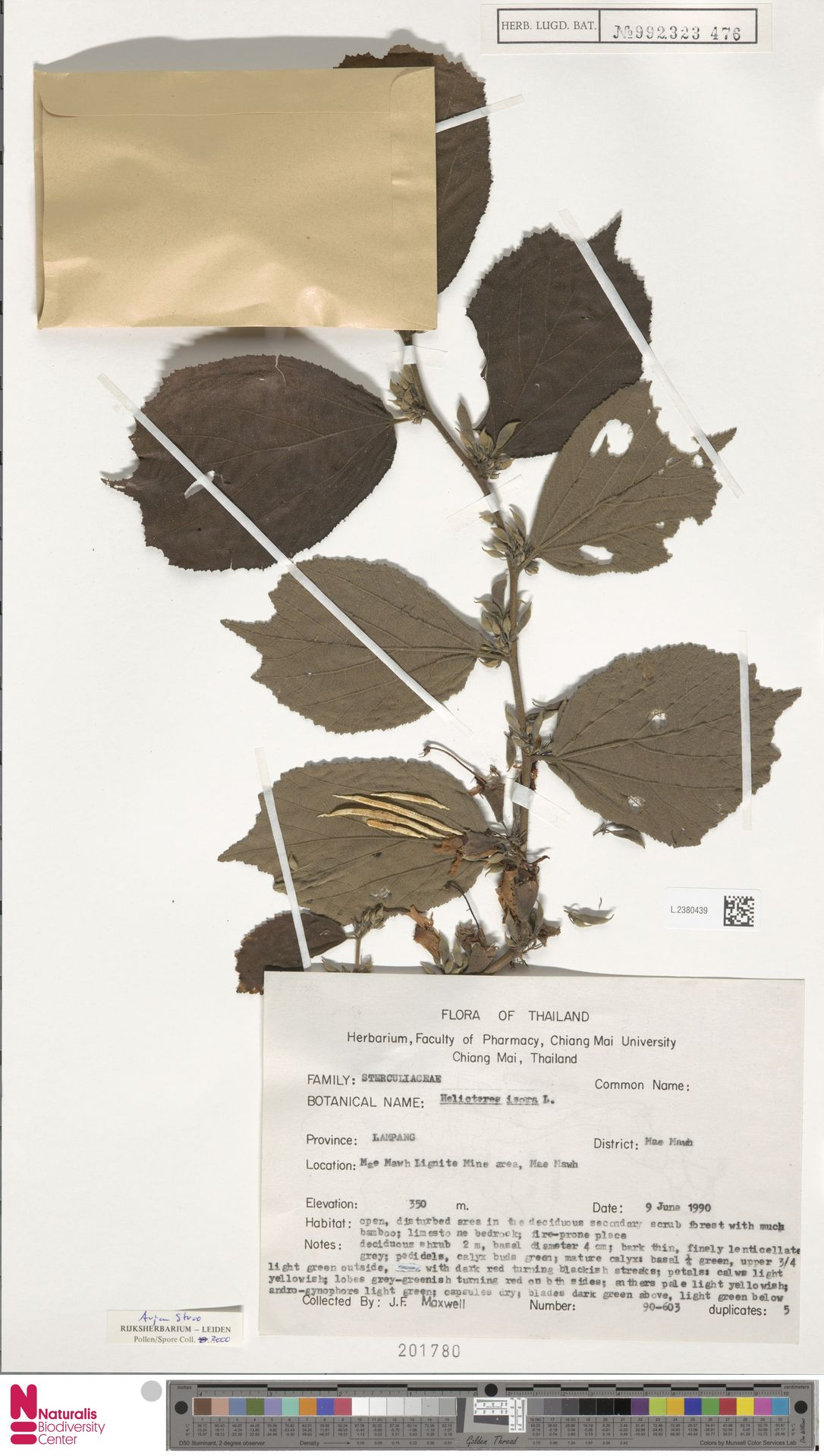 L.2380439 | Helicteres isora L.